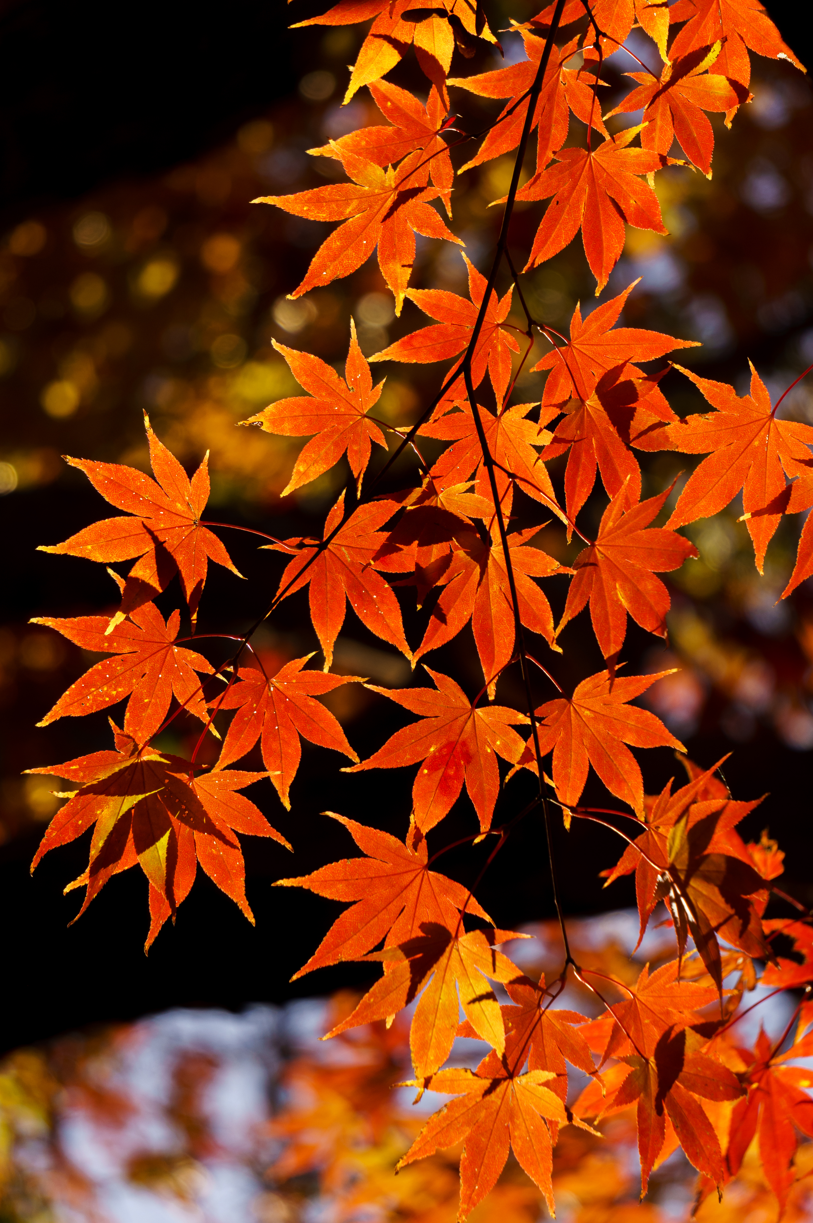 156303 download wallpaper Leaves, Nature, Autumn, Branch, Maple screensavers and pictures for free