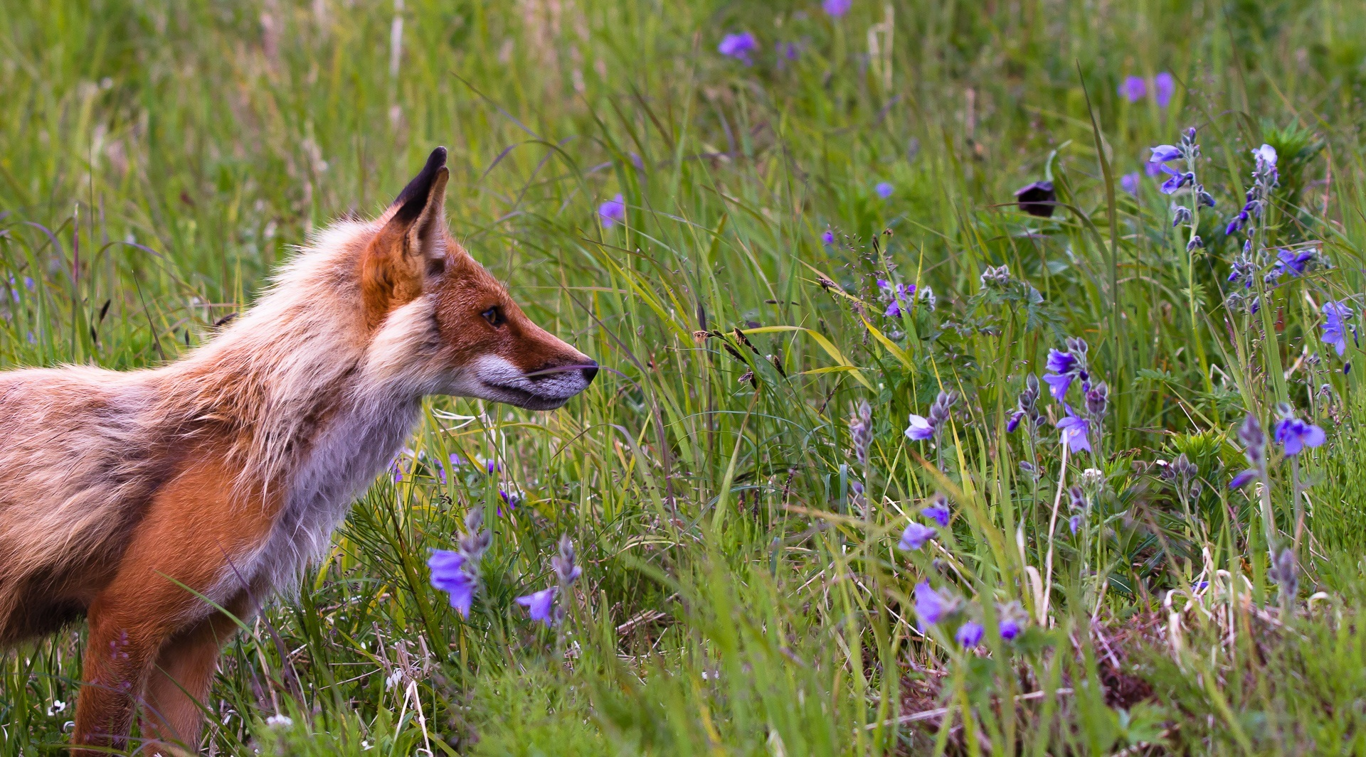 97922 Screensavers and Wallpapers Fox for phone. Download Animals, Flowers, Grass, Fox, Field pictures for free