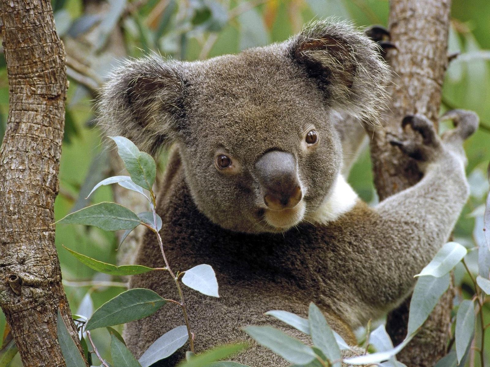Download mobile wallpaper Animals, Koalas for free.
