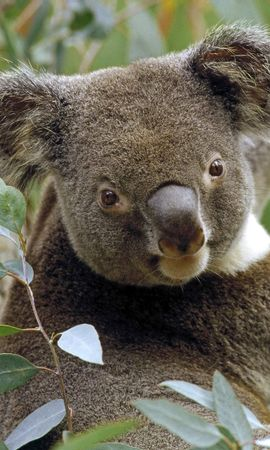 4265 download wallpaper Animals, Koalas screensavers and pictures for free