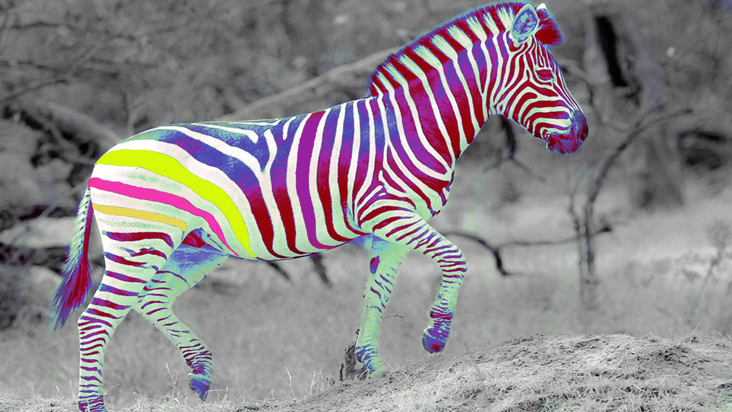 22724 download wallpaper Funny, Animals, Zebra screensavers and pictures for free