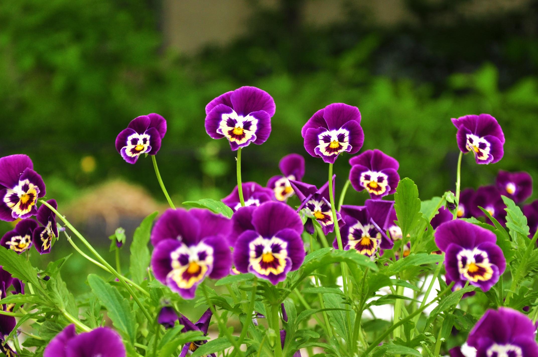 147847 скачать обои Цветы, Трава, Анютины Глазки, Улыбки, Мордочки - заставки и картинки бесплатно