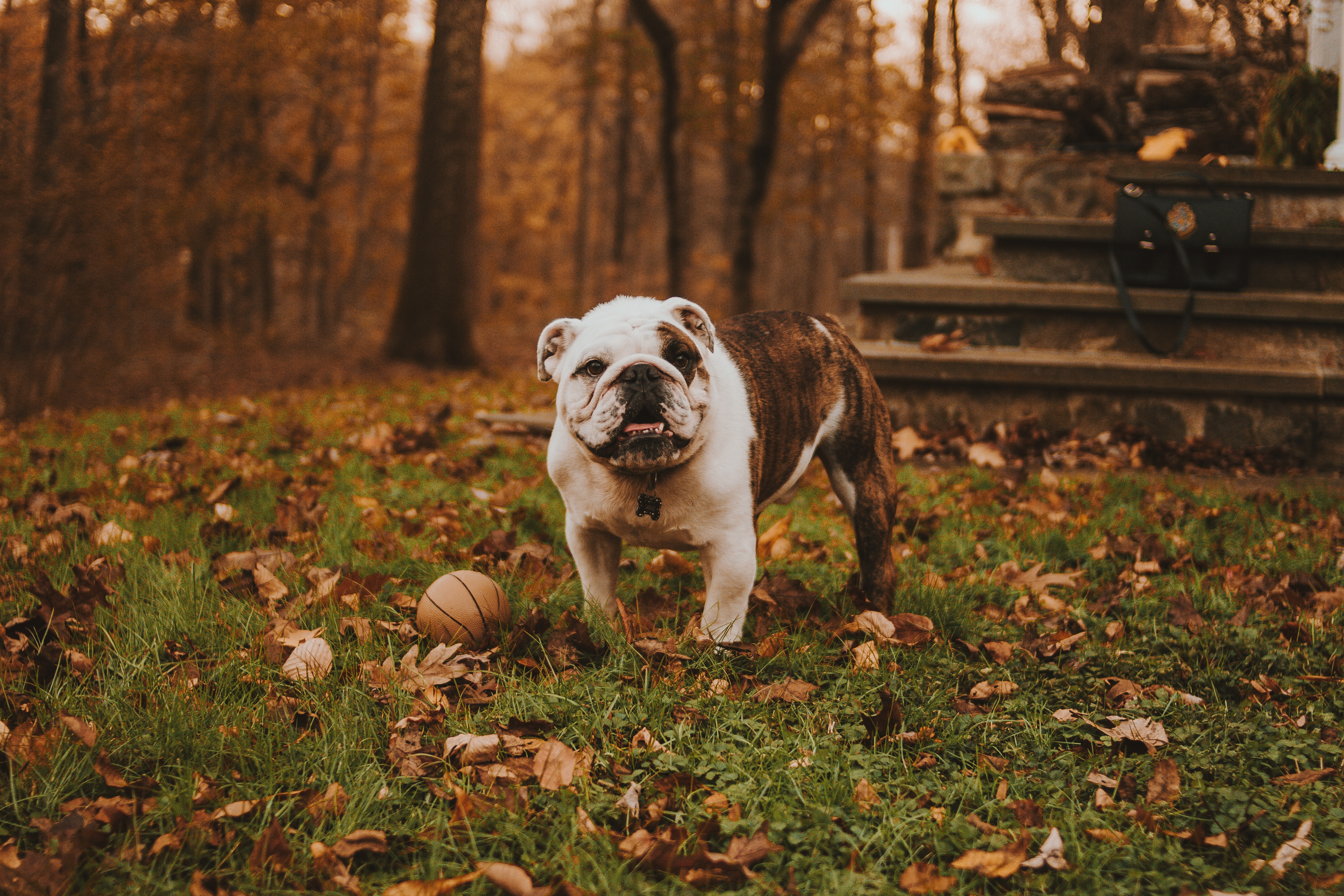150560 download wallpaper Animals, Bulldog, Muzzle, Ball, Autumn, Grass screensavers and pictures for free