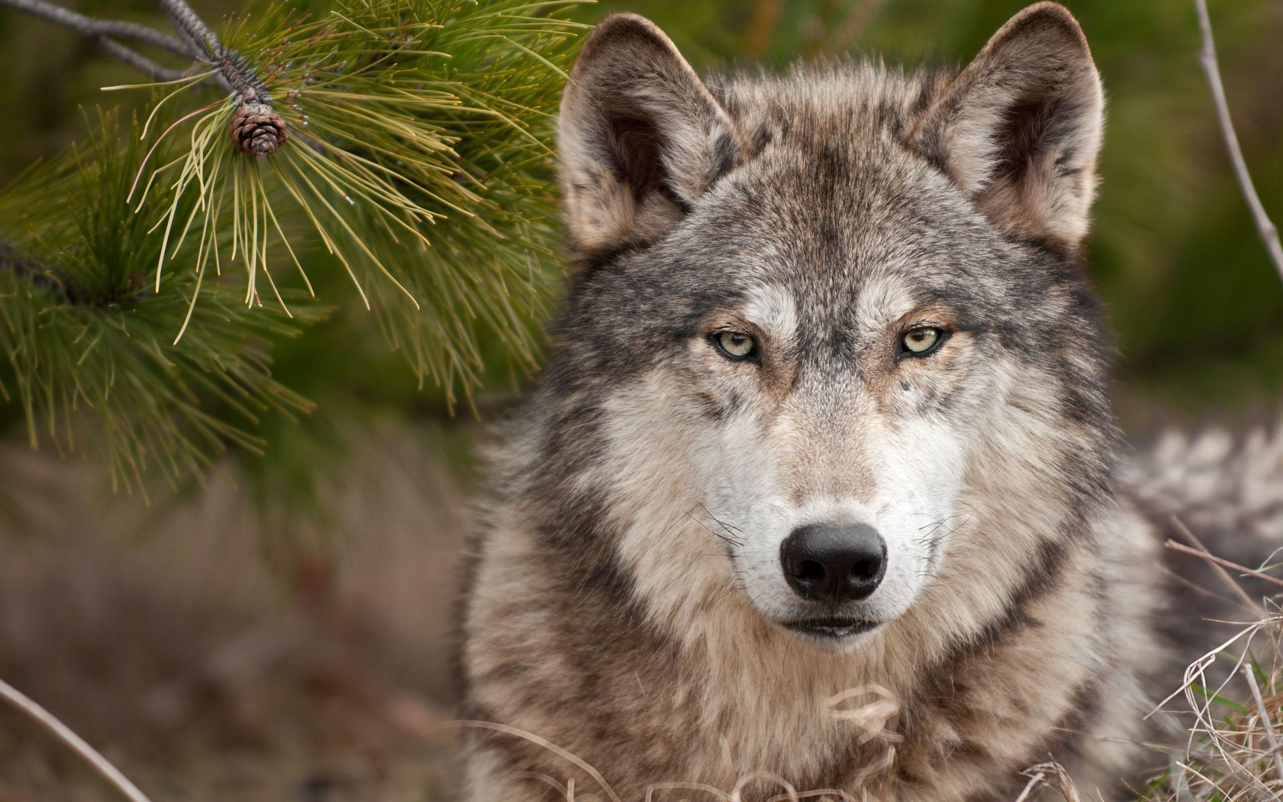 39169 descargar fondo de pantalla Animales, Lobos: protectores de pantalla e imágenes gratis