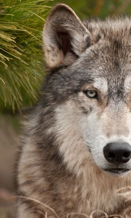 39169 download wallpaper Animals, Wolfs screensavers and pictures for free