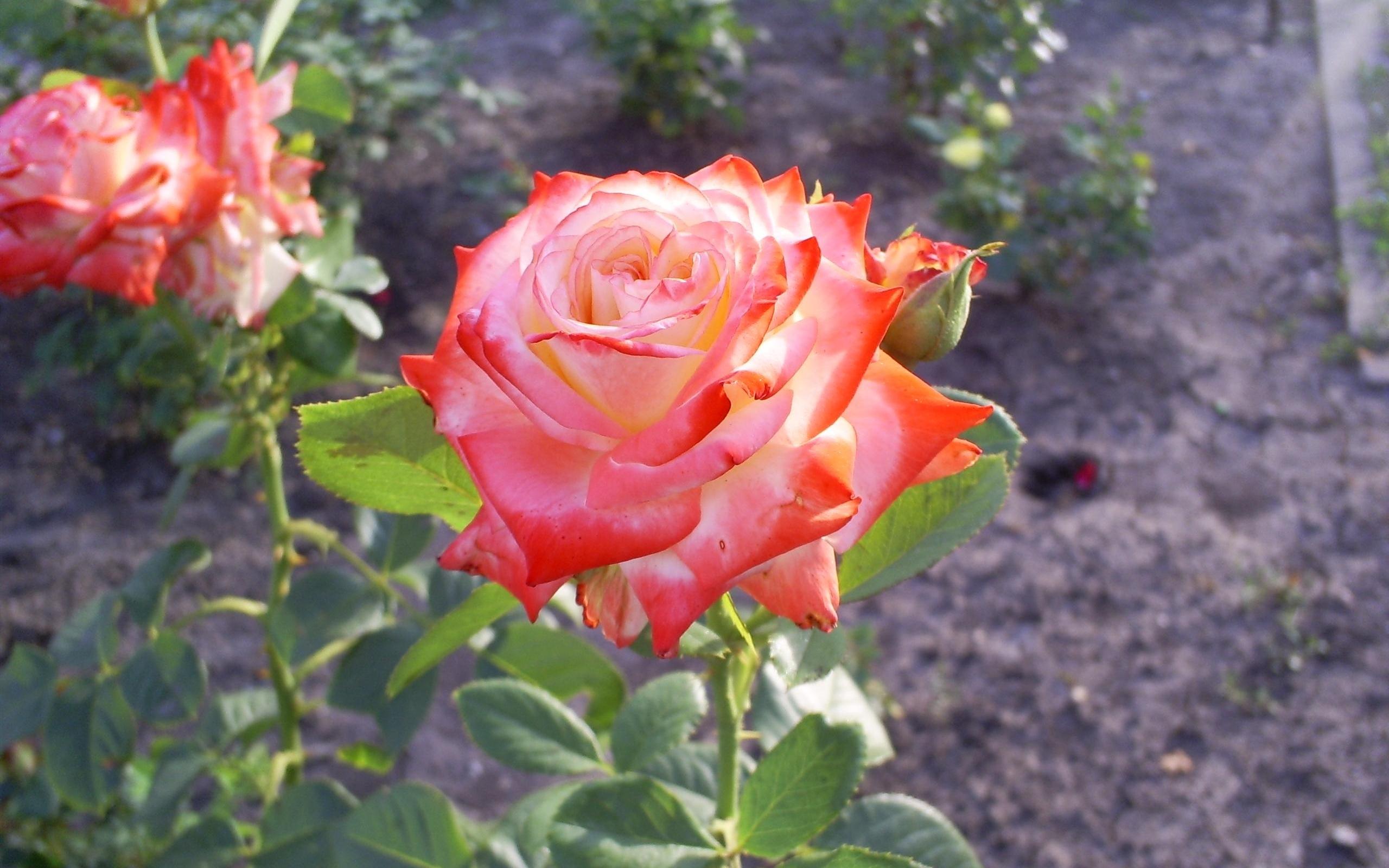 1537 скачать обои Растения, Цветы, Розы - заставки и картинки бесплатно