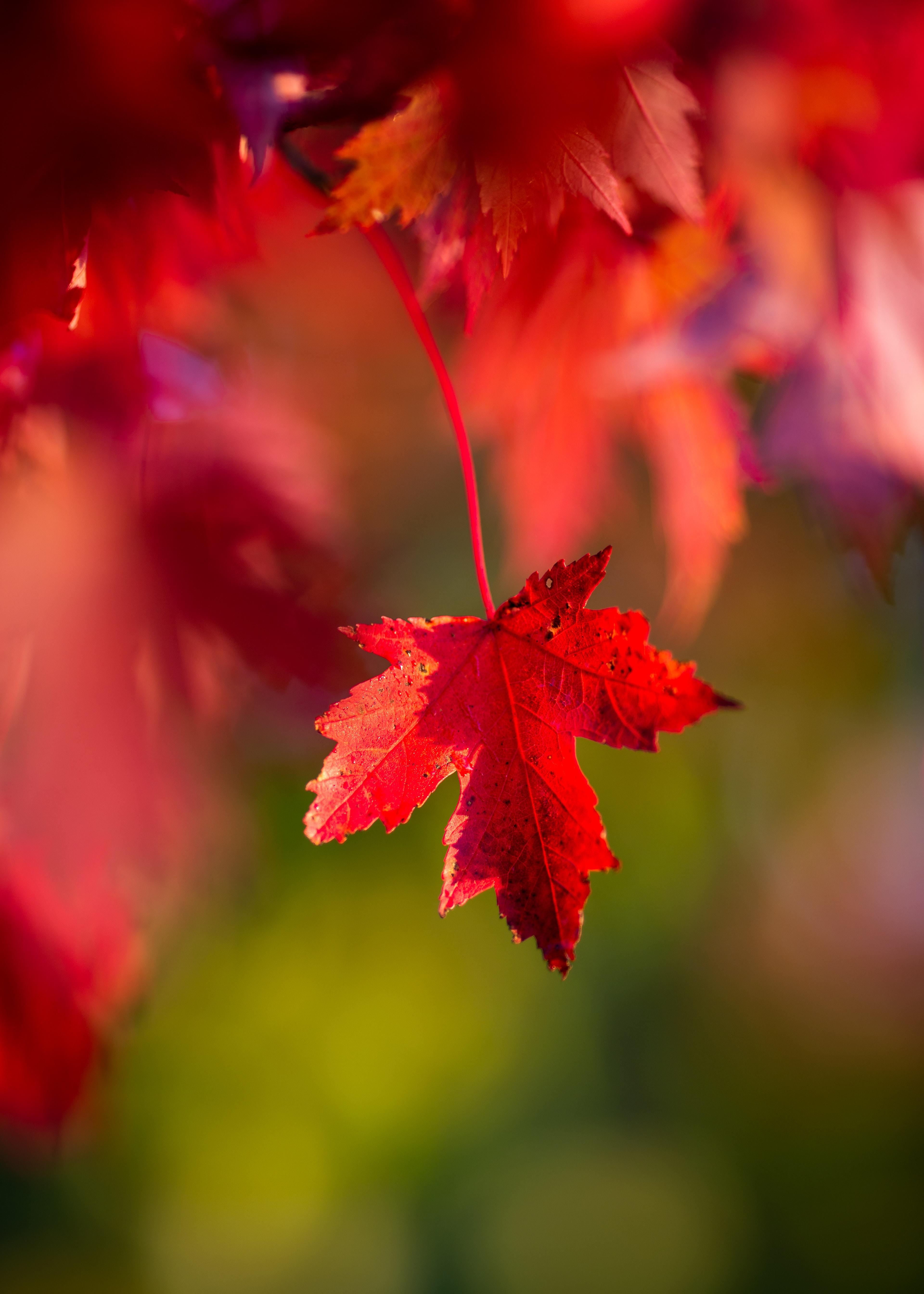 109607 скачать обои Макро, Листок, Красный, Осень - заставки и картинки бесплатно