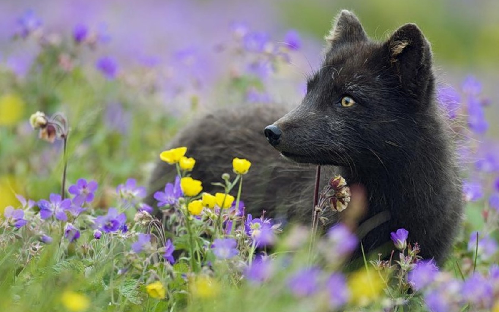24649 download wallpaper Animals, Fox screensavers and pictures for free