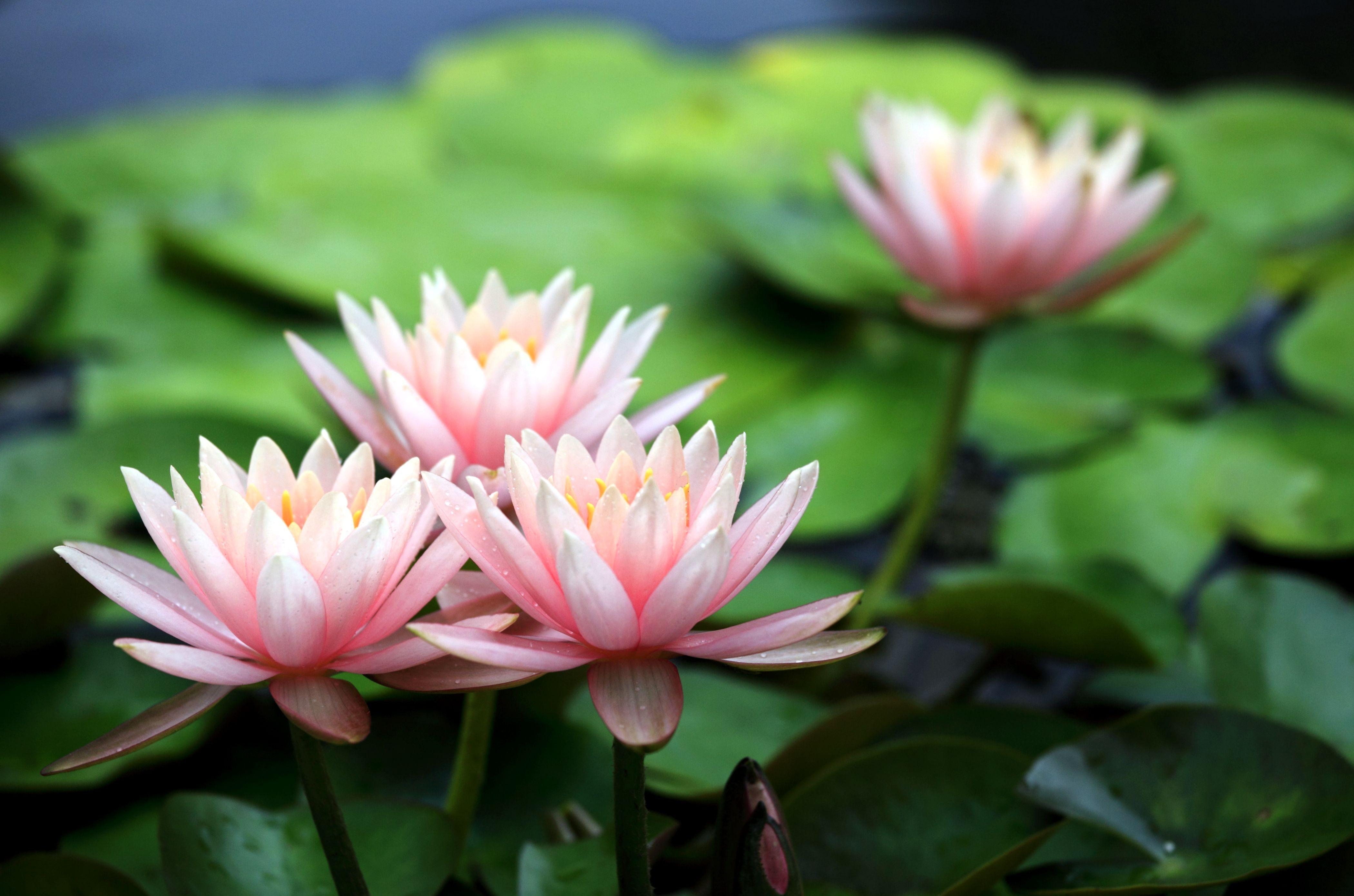 121494 download wallpaper Flowers, Water Lilies, Leaves, Blur, Smooth, Pond, Close-Up screensavers and pictures for free