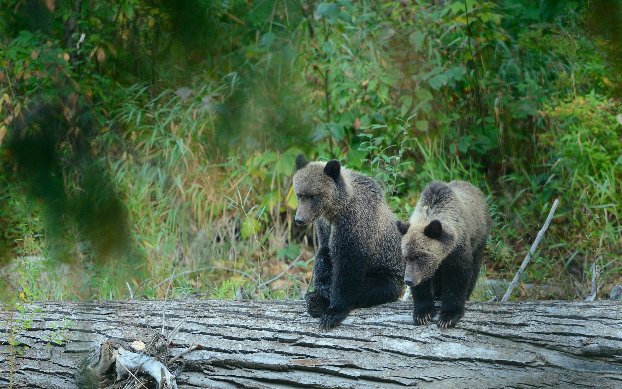 100743 Заставки и Обои Медведи на телефон. Скачать Животные, Медведи, Медведь, Детеныш, Гризли картинки бесплатно