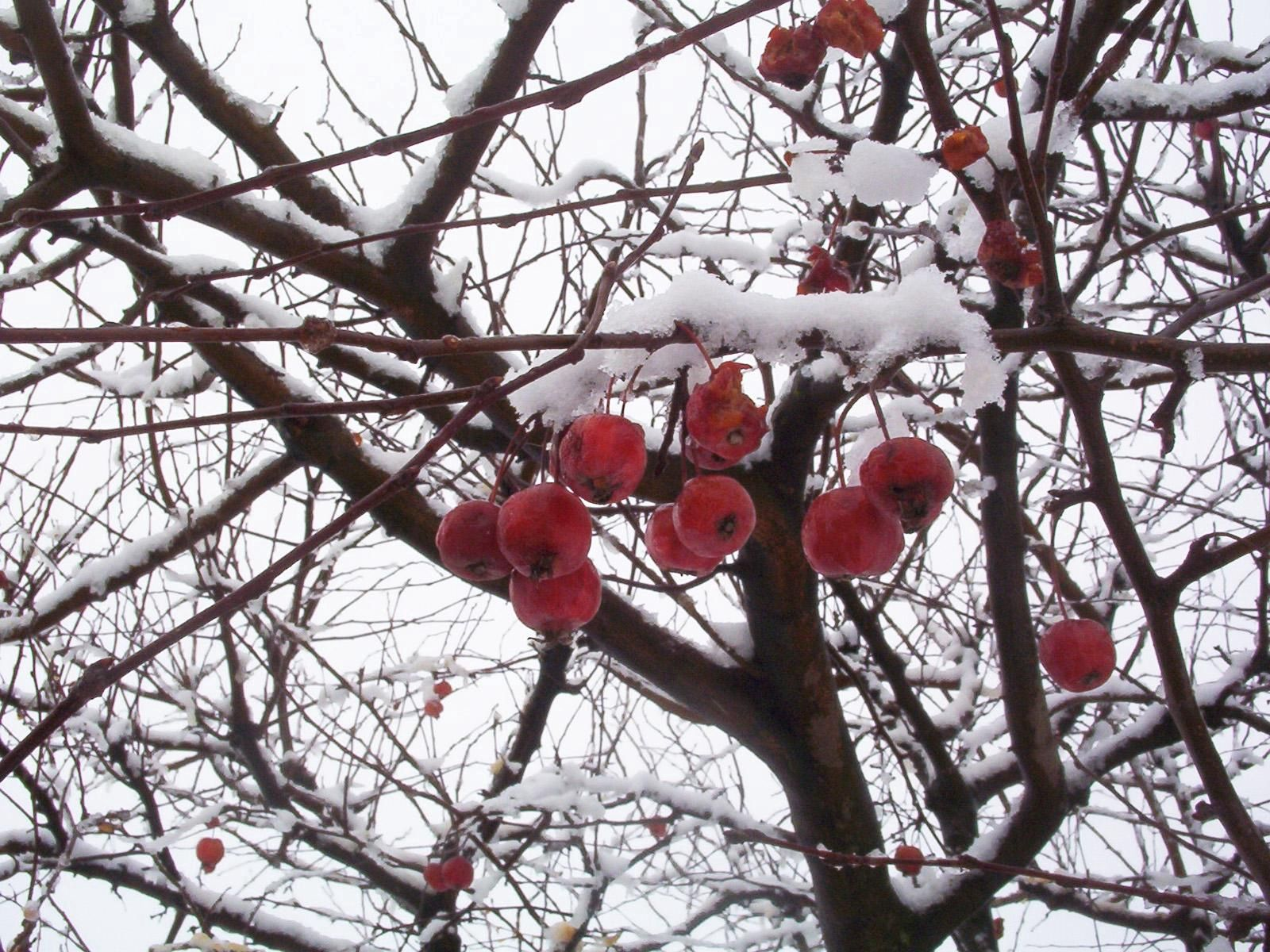 76514 download wallpaper Nature, Rowan, Branches, Branch, Berry, Snow screensavers and pictures for free