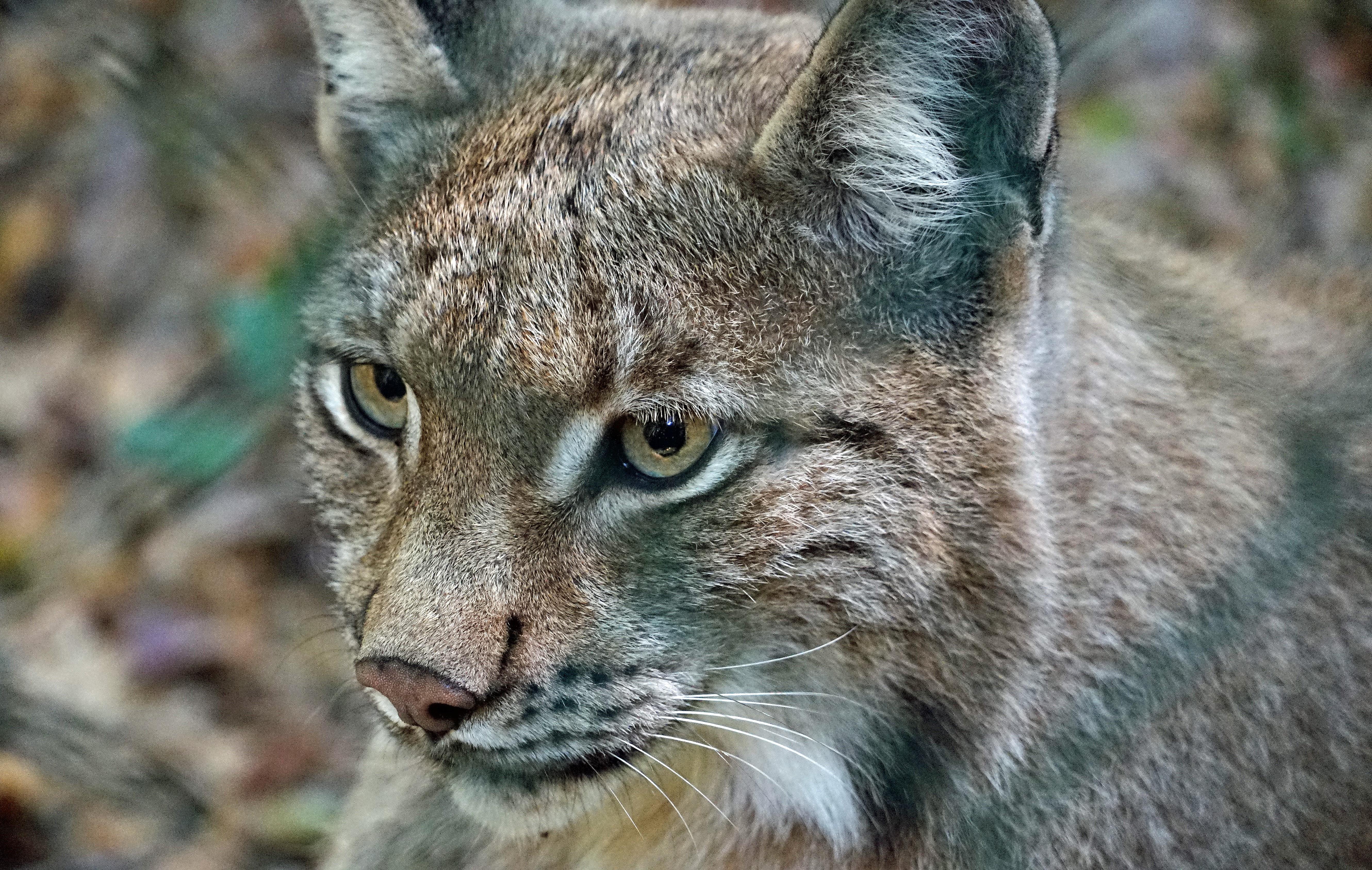 146517 download wallpaper Animals, Iris, Predator, Wild Cat, Wildcat screensavers and pictures for free