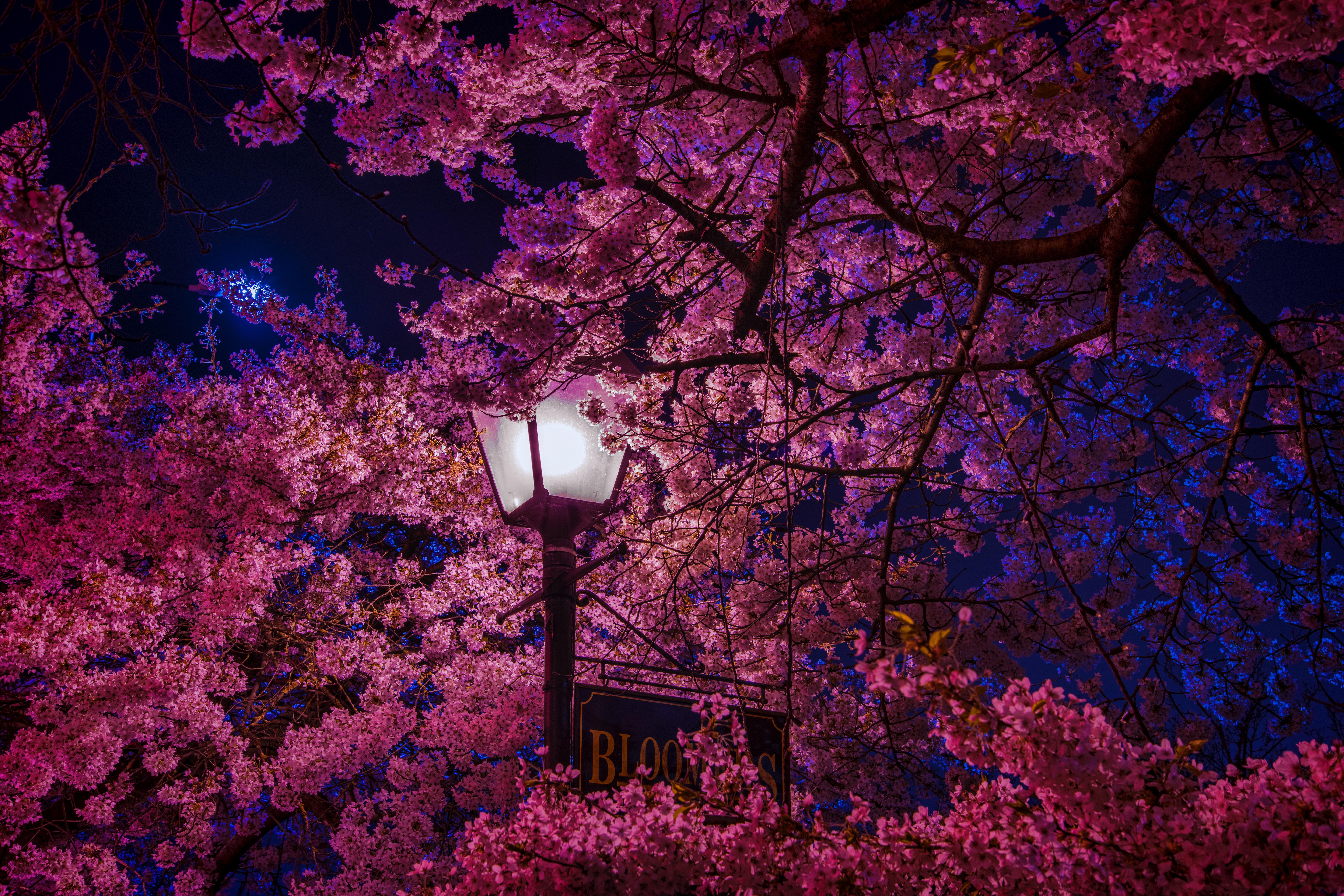 139037 Screensavers and Wallpapers Sakura for phone. Download Night, Sakura, Miscellanea, Miscellaneous, Lamp, Lantern, Spring, Blooms pictures for free