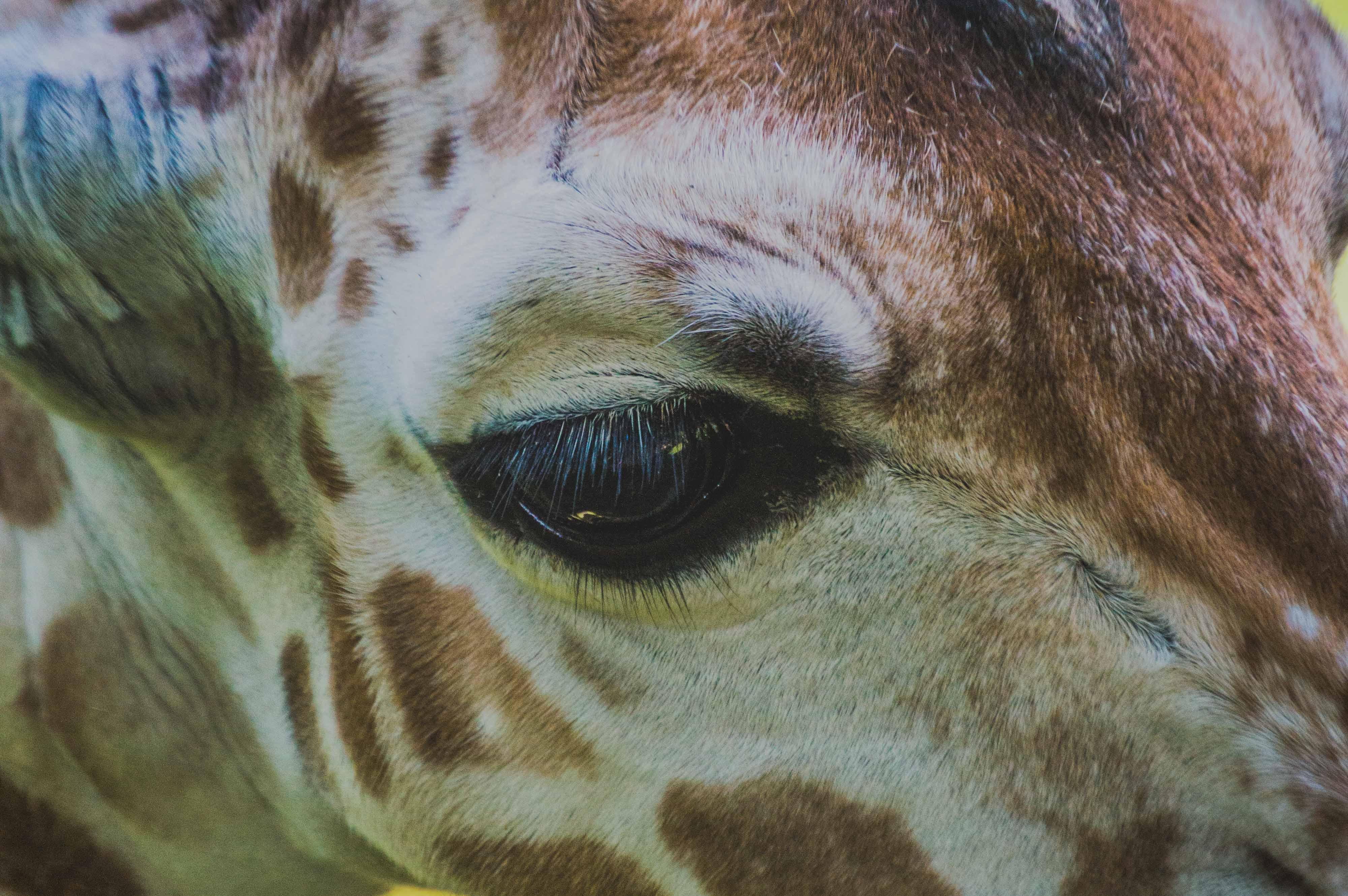 57436 免費下載壁紙 动物, 长颈鹿, 眼睛, 枪口, 莫尔达 屏保和圖片
