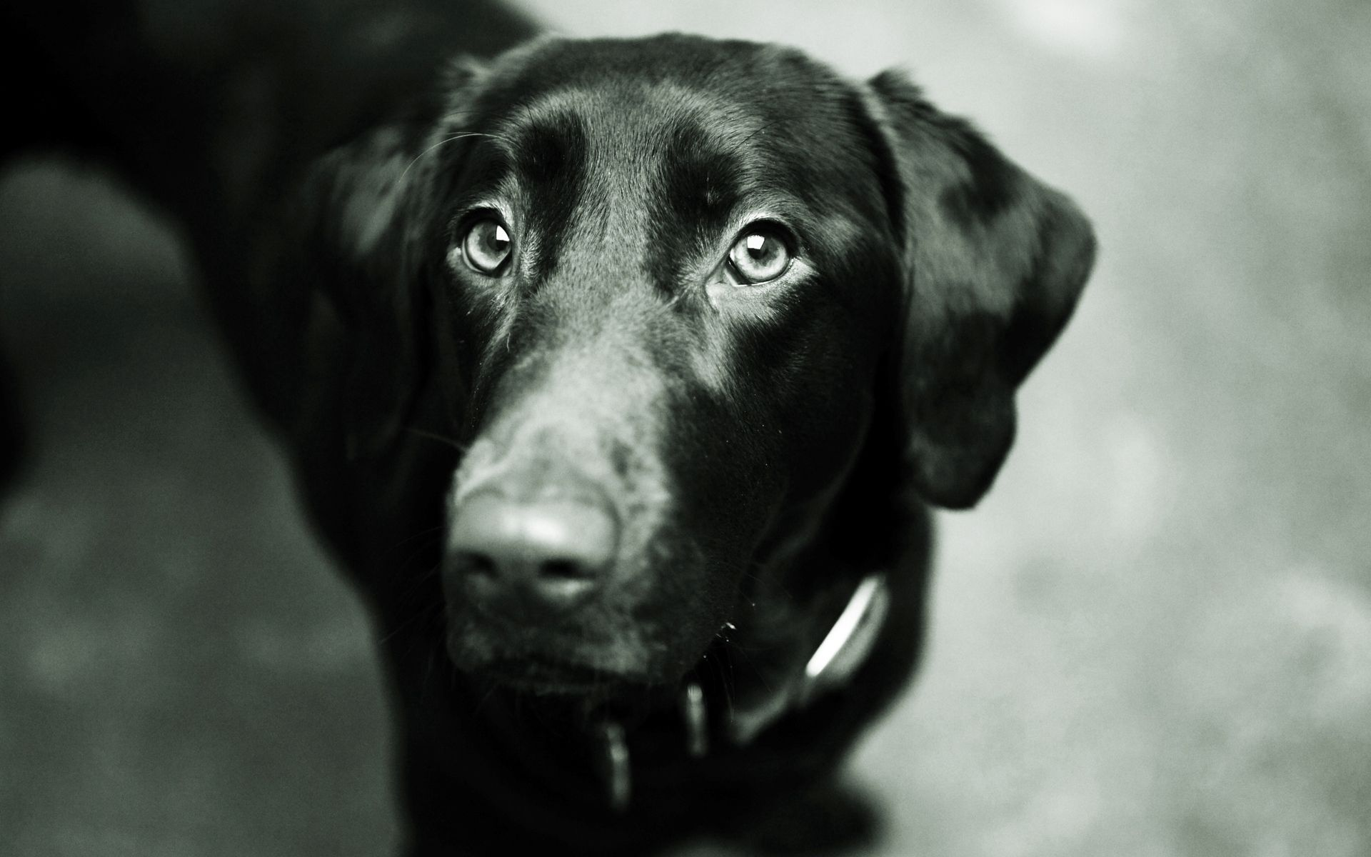 139428 download wallpaper Animals, Dog, Muzzle, Nose, Ears, Bw, Chb screensavers and pictures for free
