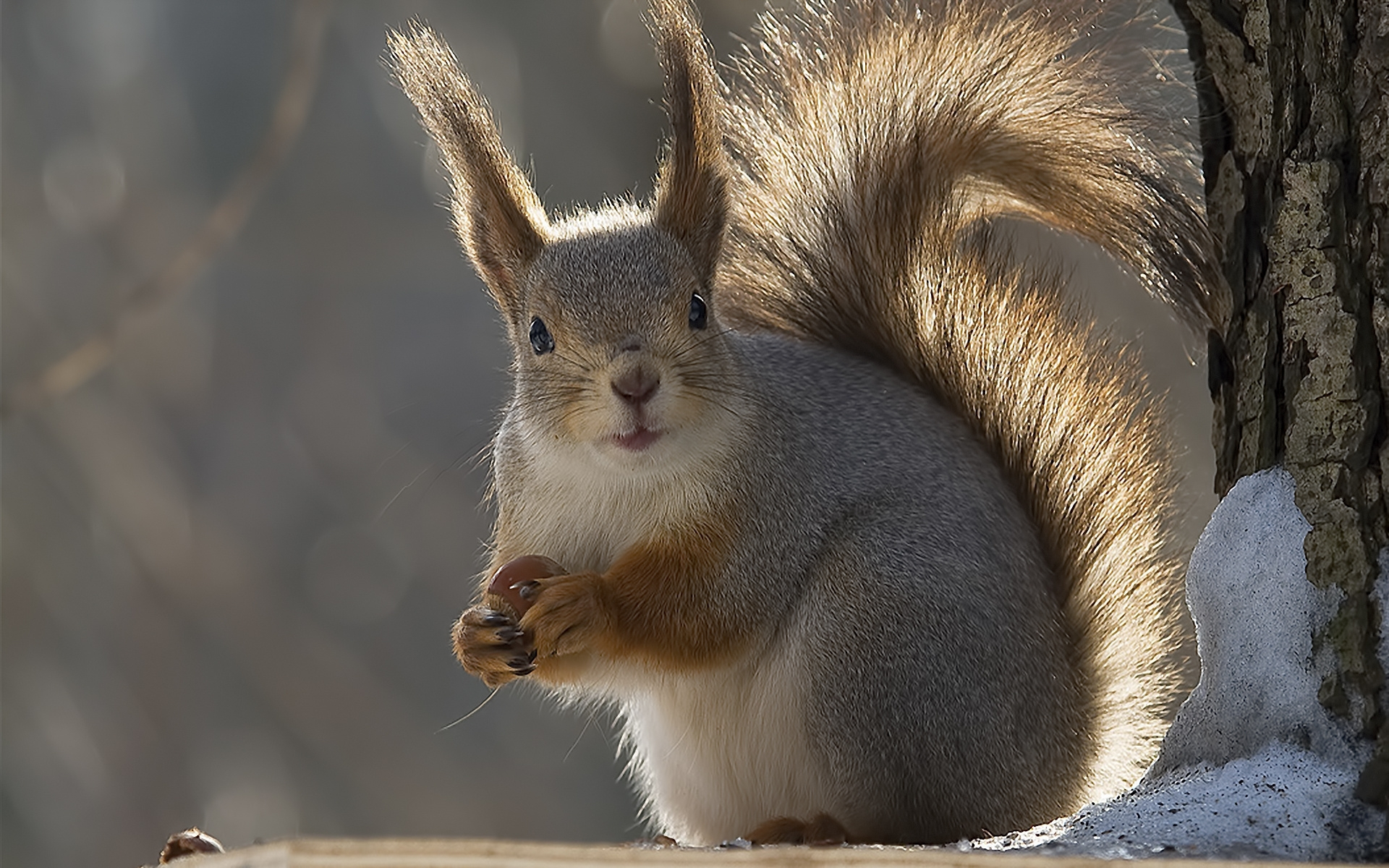 37121 download wallpaper Animals, Squirrel screensavers and pictures for free