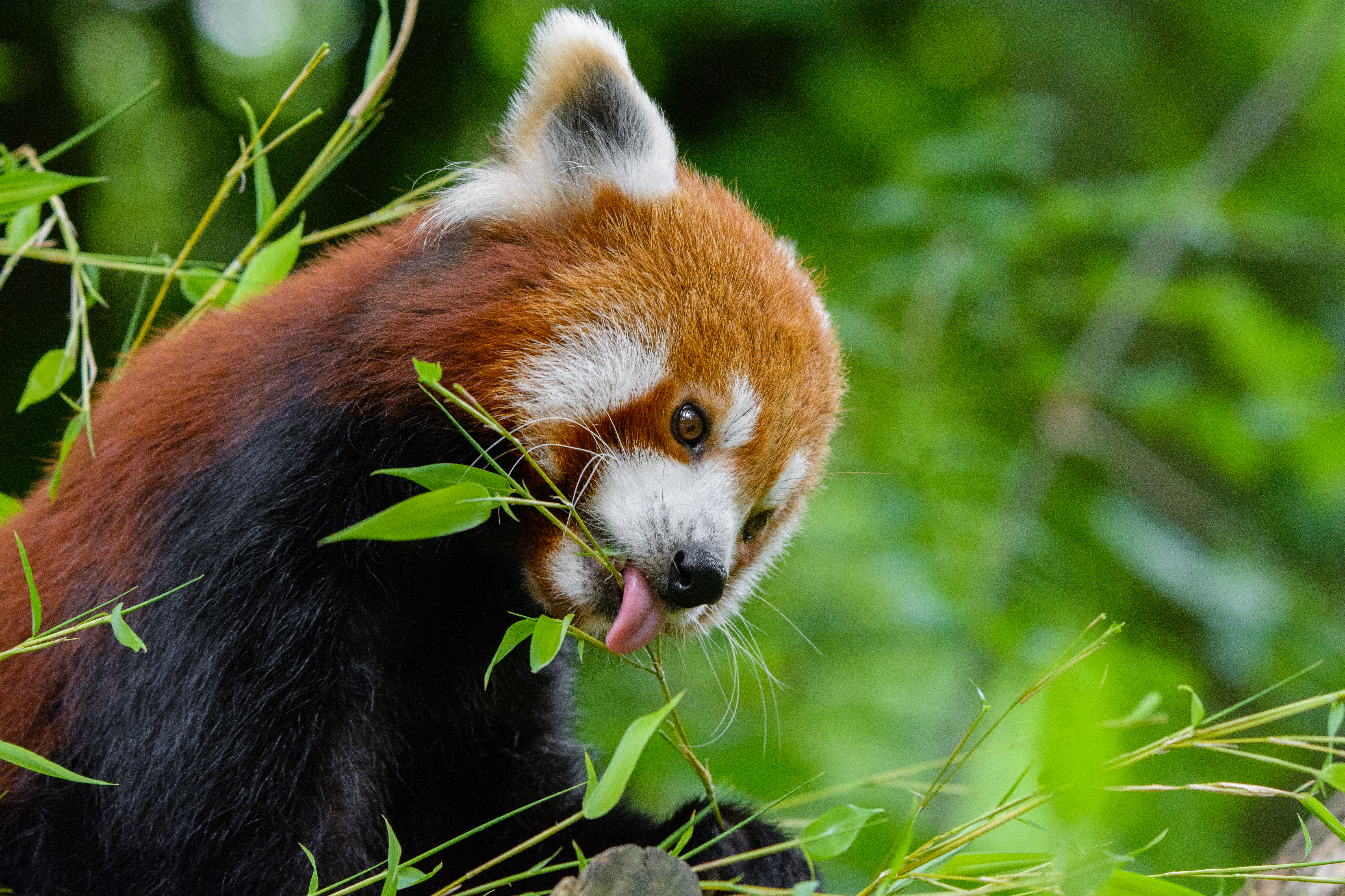 124344 download wallpaper Animals, Little Panda, Small Panda, Fiery Panda, Branches, Nice, Sweetheart, Food screensavers and pictures for free