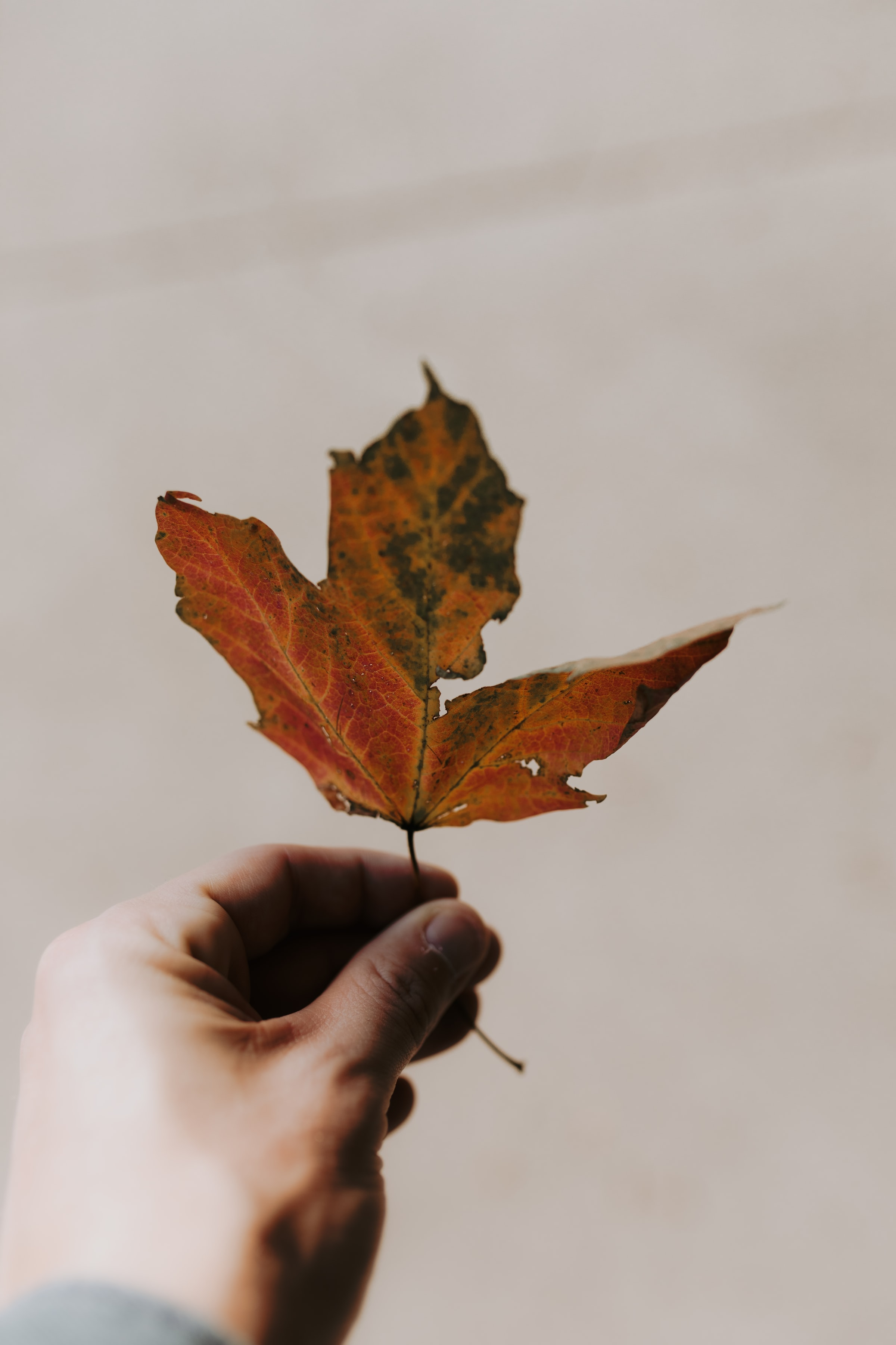 121726 download wallpaper Miscellanea, Miscellaneous, Maple, Hand, Sheet, Leaf, Autumn screensavers and pictures for free