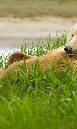 148877 download wallpaper Animals, Grizzly, Grizzly Bear, Bear, Grass, To Lie Down, Lie, Cool screensavers and pictures for free