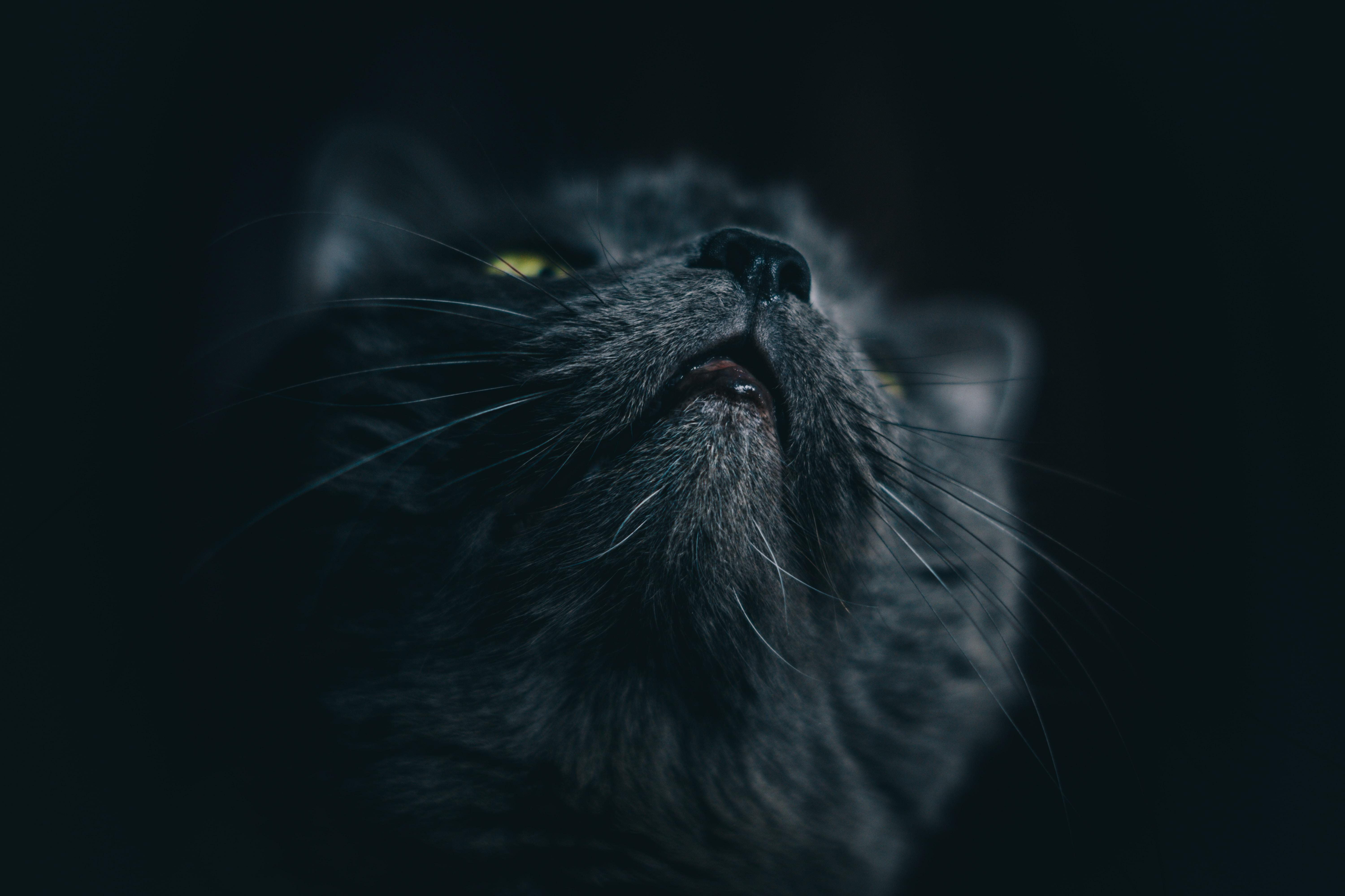 62420 download wallpaper Animals, Cat, Grey, Muzzle, Pet screensavers and pictures for free