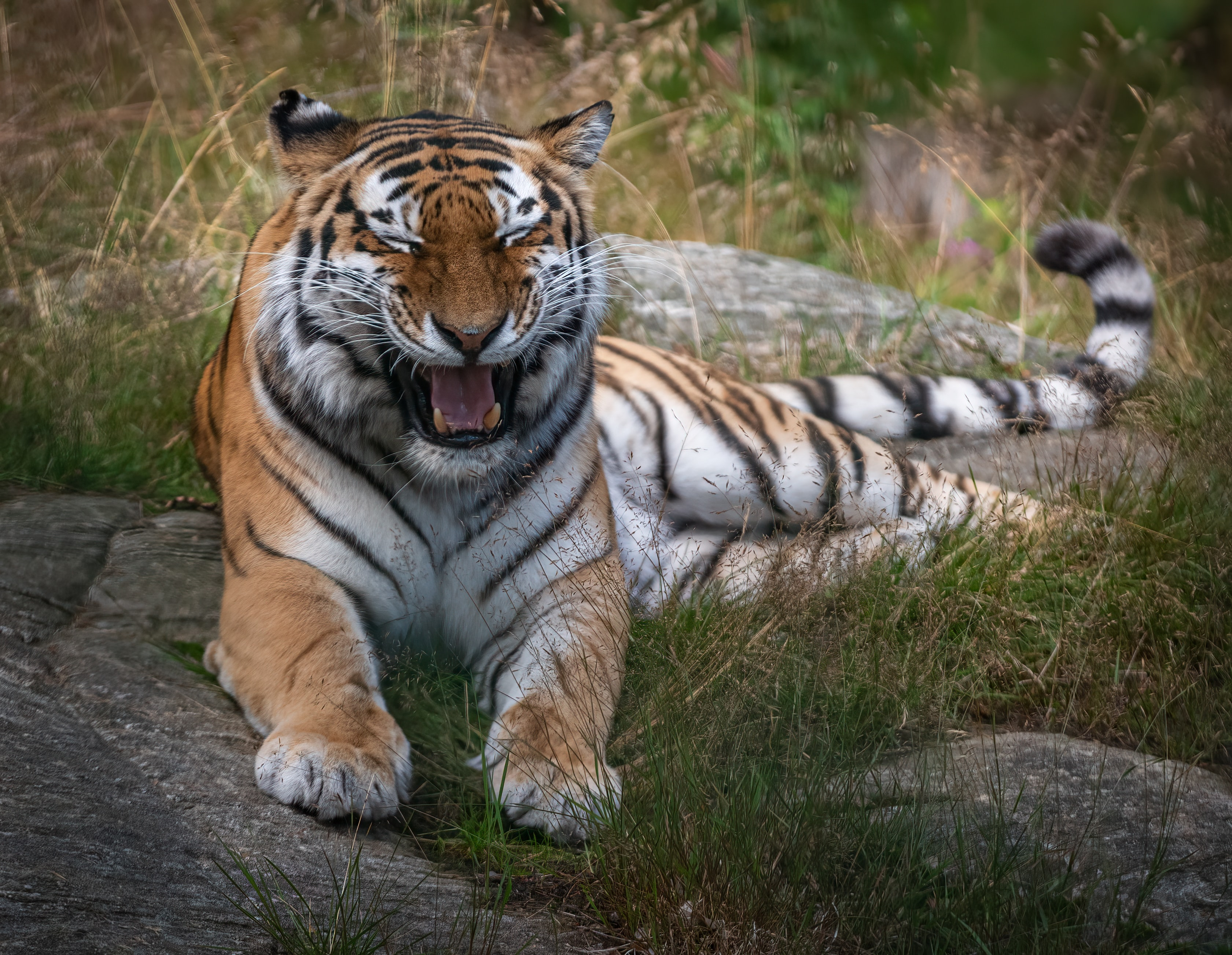 72539 download wallpaper Animals, Tiger, To Fall, Mouth, Fangs, Predator, Animal screensavers and pictures for free