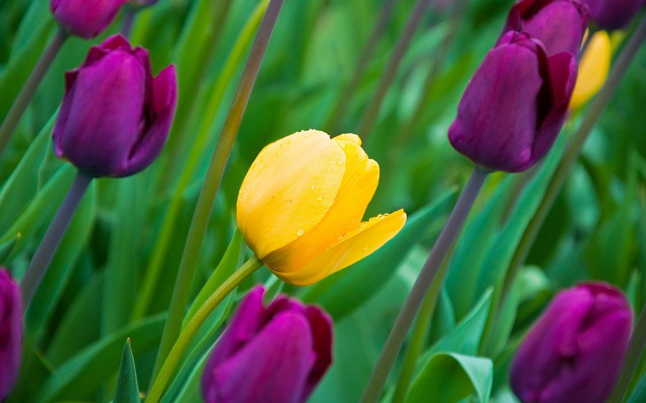 Скачать картинку Фон, Тюльпаны, Растения, Цветы в телефон бесплатно.