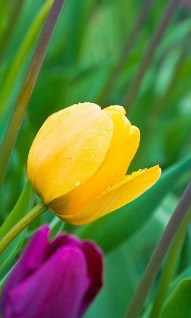 15232 скачать обои Растения, Цветы, Фон, Тюльпаны - заставки и картинки бесплатно