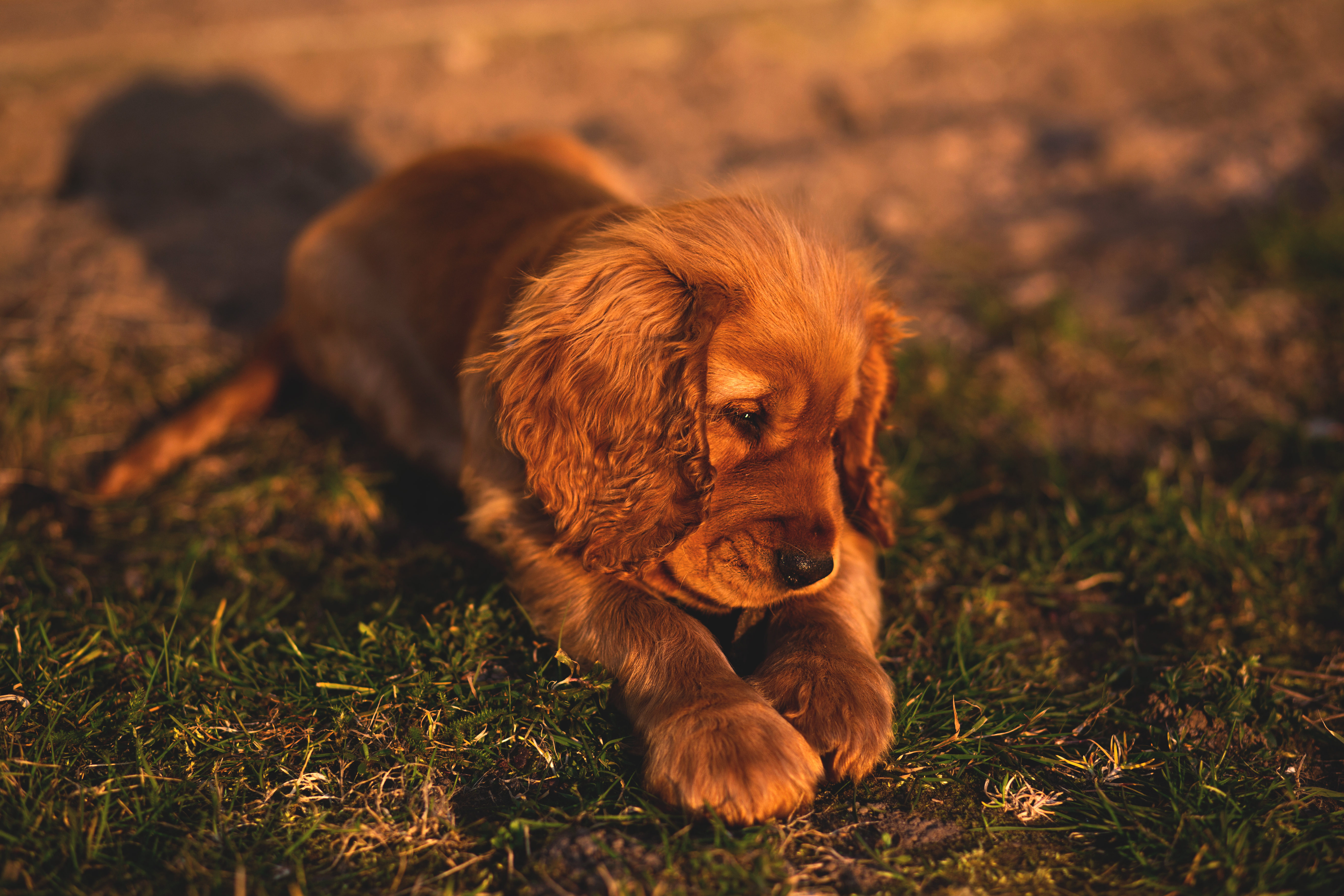 150359 download wallpaper Animals, English Cocker Spaniel, Puppy, Dog, Lies, Grass screensavers and pictures for free