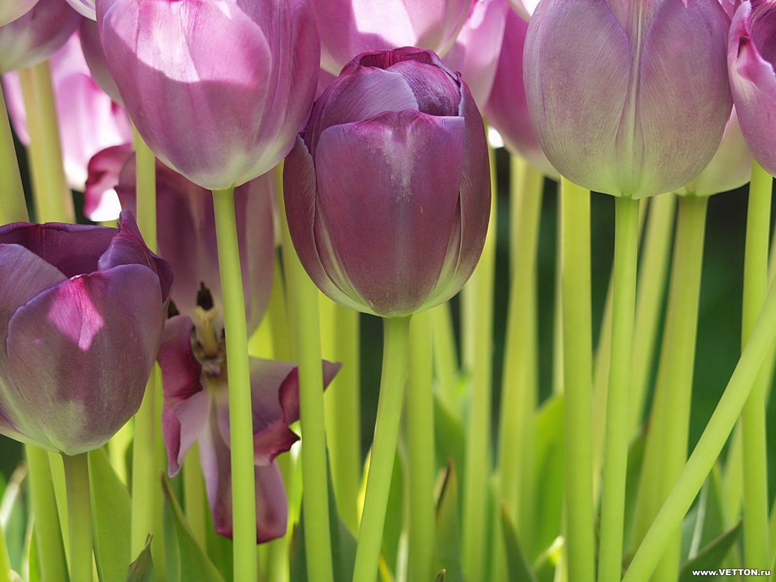4047 скачать обои Растения, Цветы, Фон, Тюльпаны - заставки и картинки бесплатно
