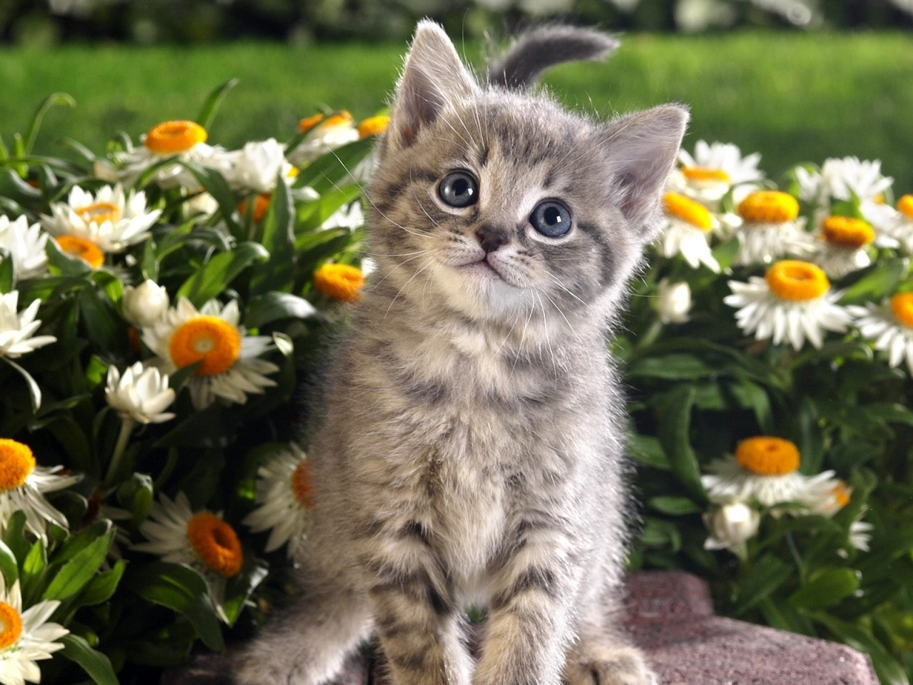 4701 download wallpaper Animals, Cats screensavers and pictures for free