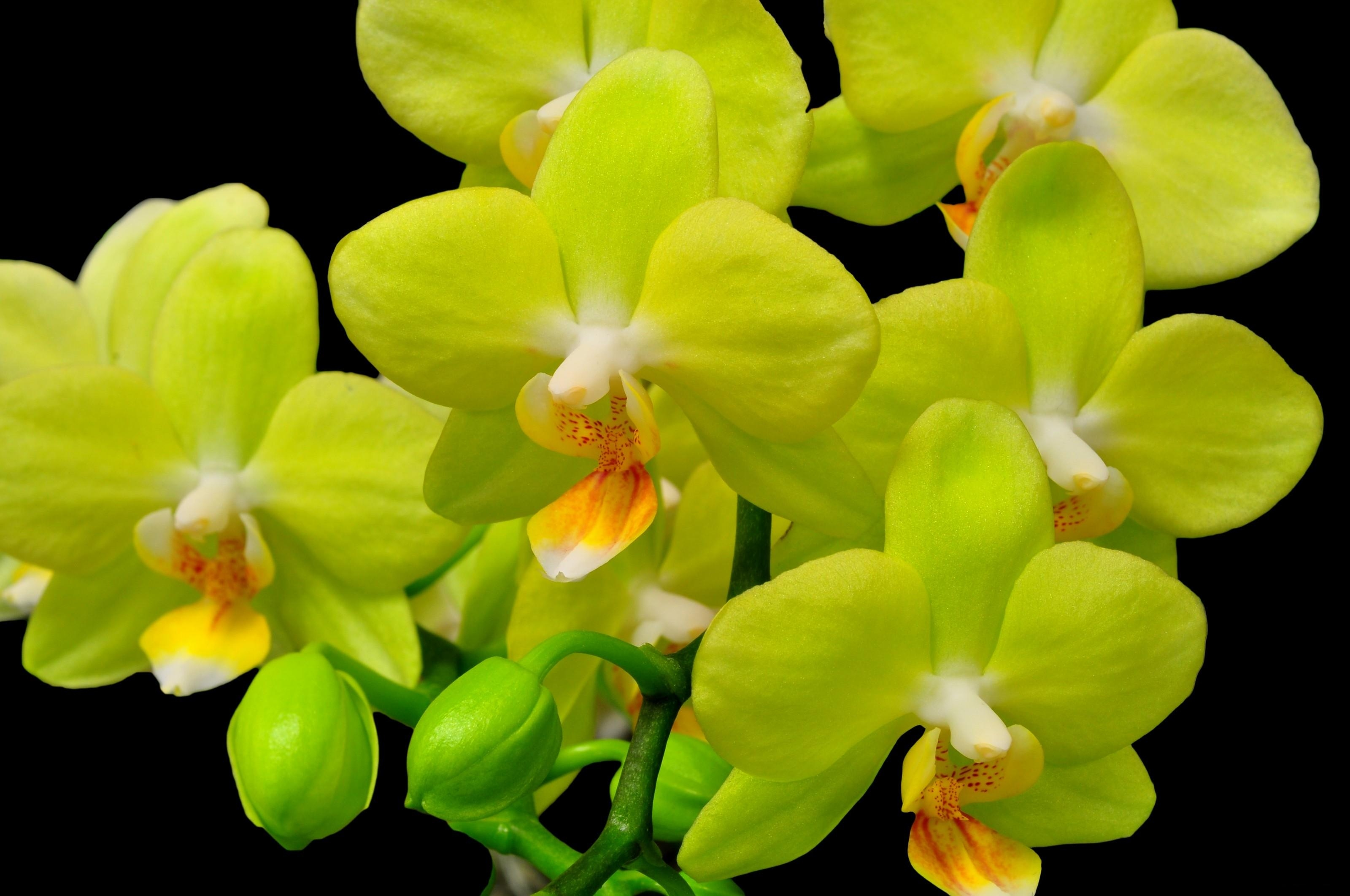87723 download wallpaper Flowers, Orchid, Flower, Close-Up, Branch, Black Background screensavers and pictures for free