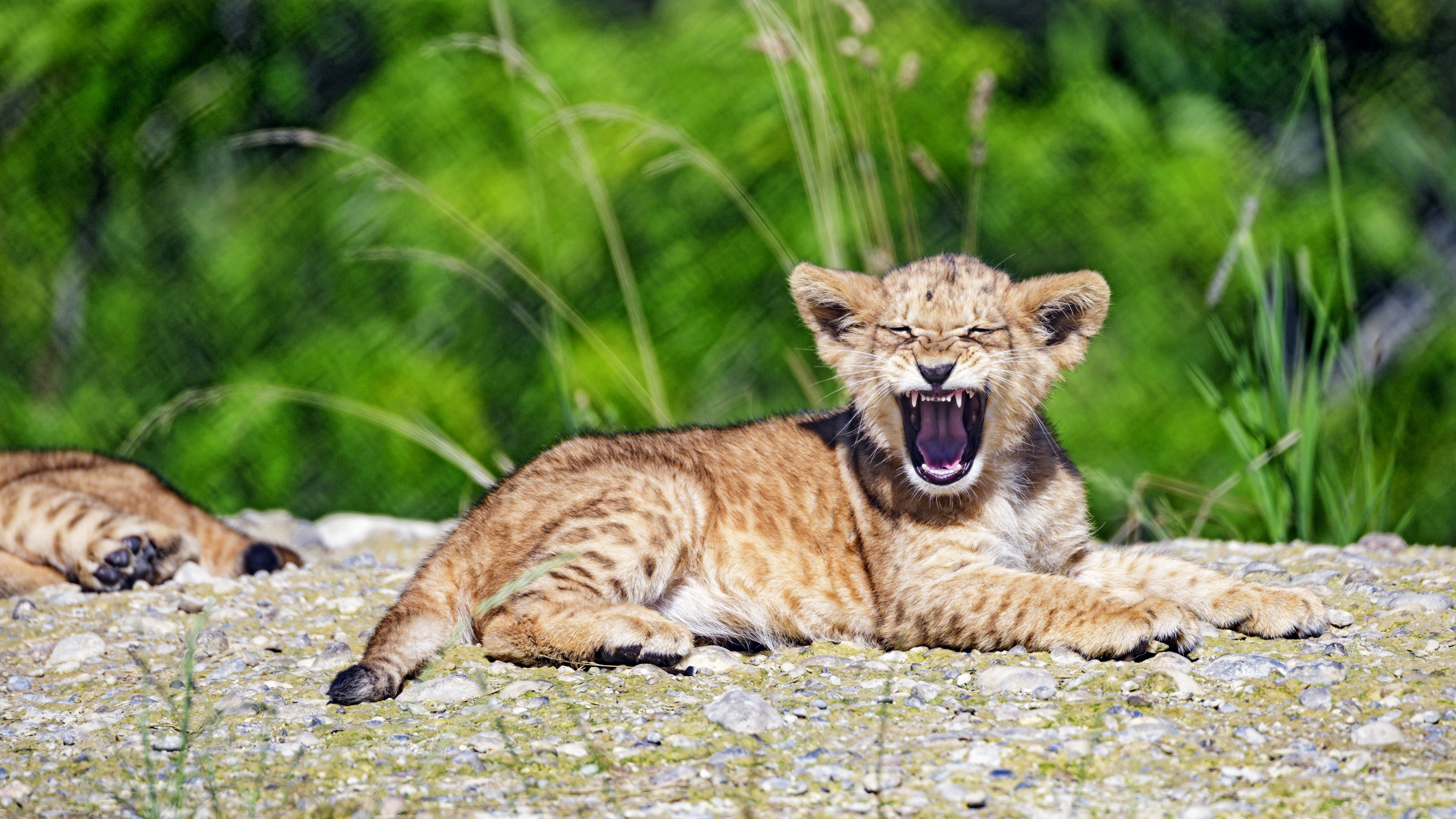 76695 download wallpaper Animals, Lion Cub, Lion, Young, Joey, Zev, Throat, Animal screensavers and pictures for free