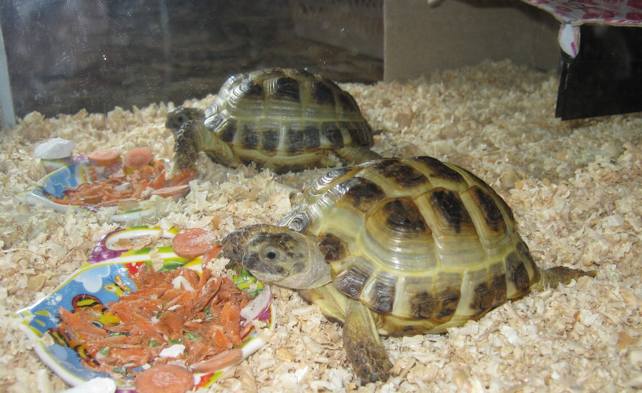 152276 download wallpaper Animals, Turtles, Food, Couple, Pair, Aquarium, Sawdust screensavers and pictures for free