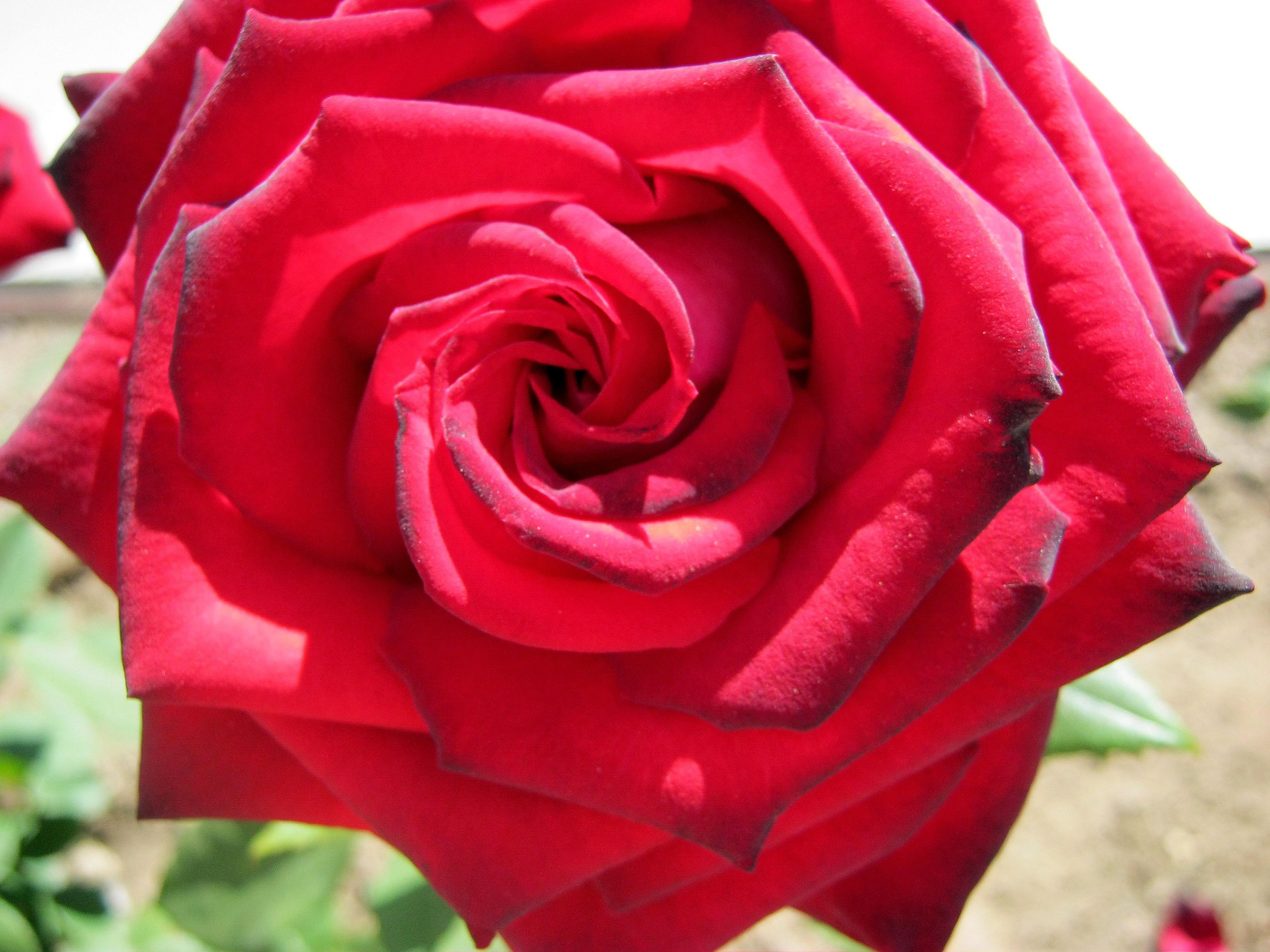 22383 télécharger le fond d'écran Plantes, Fleurs, Roses - économiseurs d'écran et images gratuitement