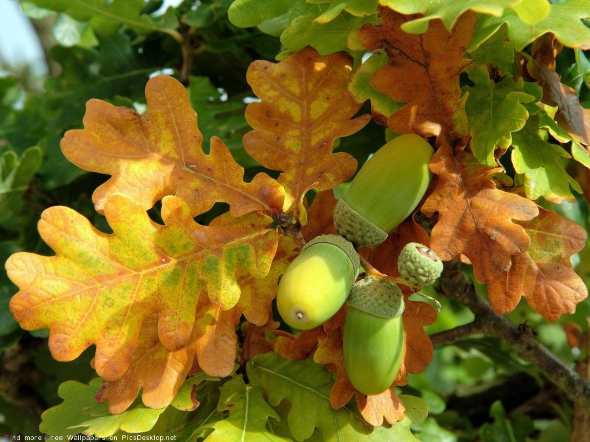 13083 скачать обои Листья, Осень, Желуди, Растения - заставки и картинки бесплатно