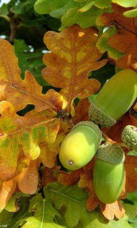 13083 скачать обои Растения, Осень, Листья, Желуди - заставки и картинки бесплатно