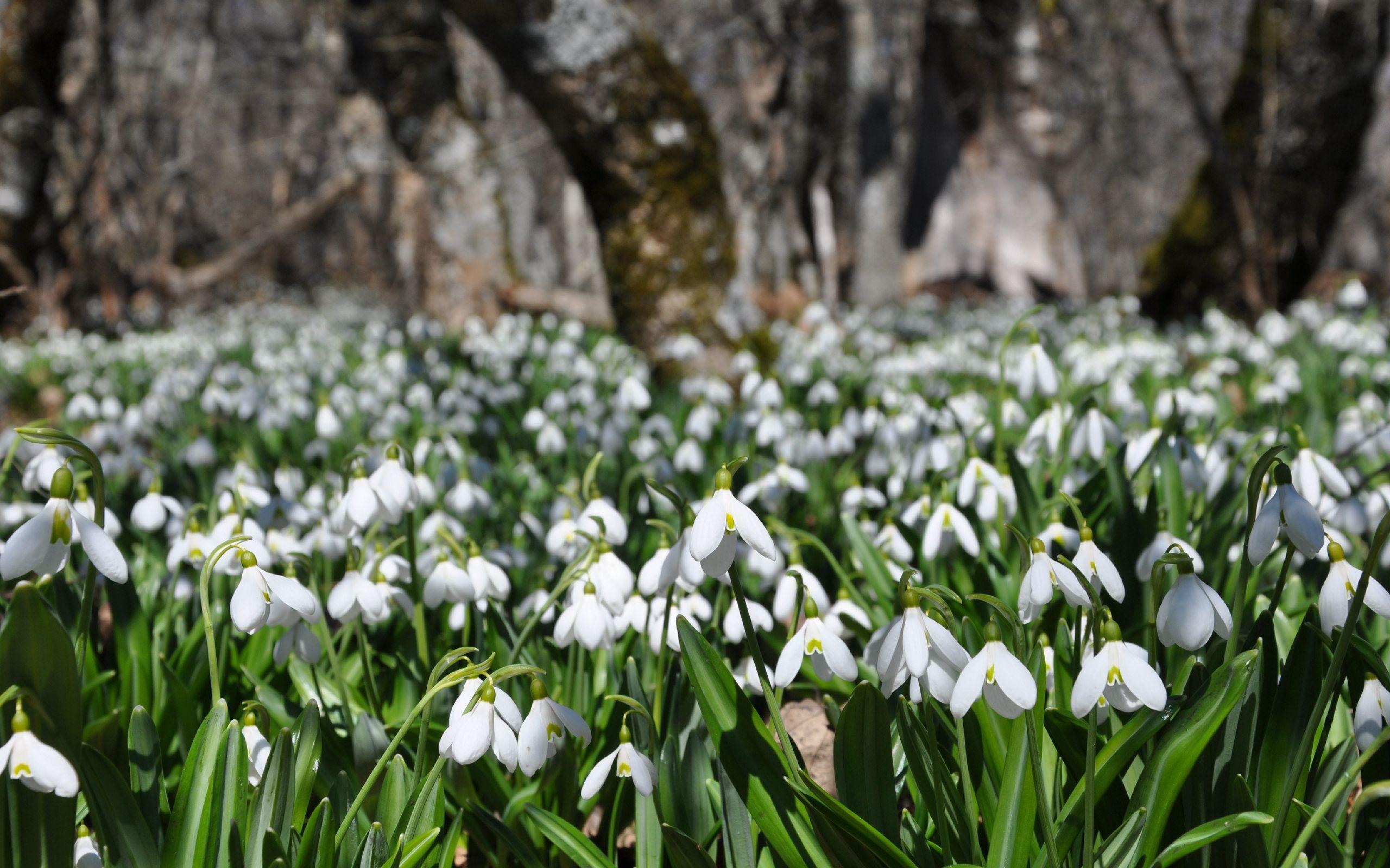109892 Заставки и Обои Подснежники на телефон. Скачать Природа, Цветы, Подснежники, Растение, Весна картинки бесплатно