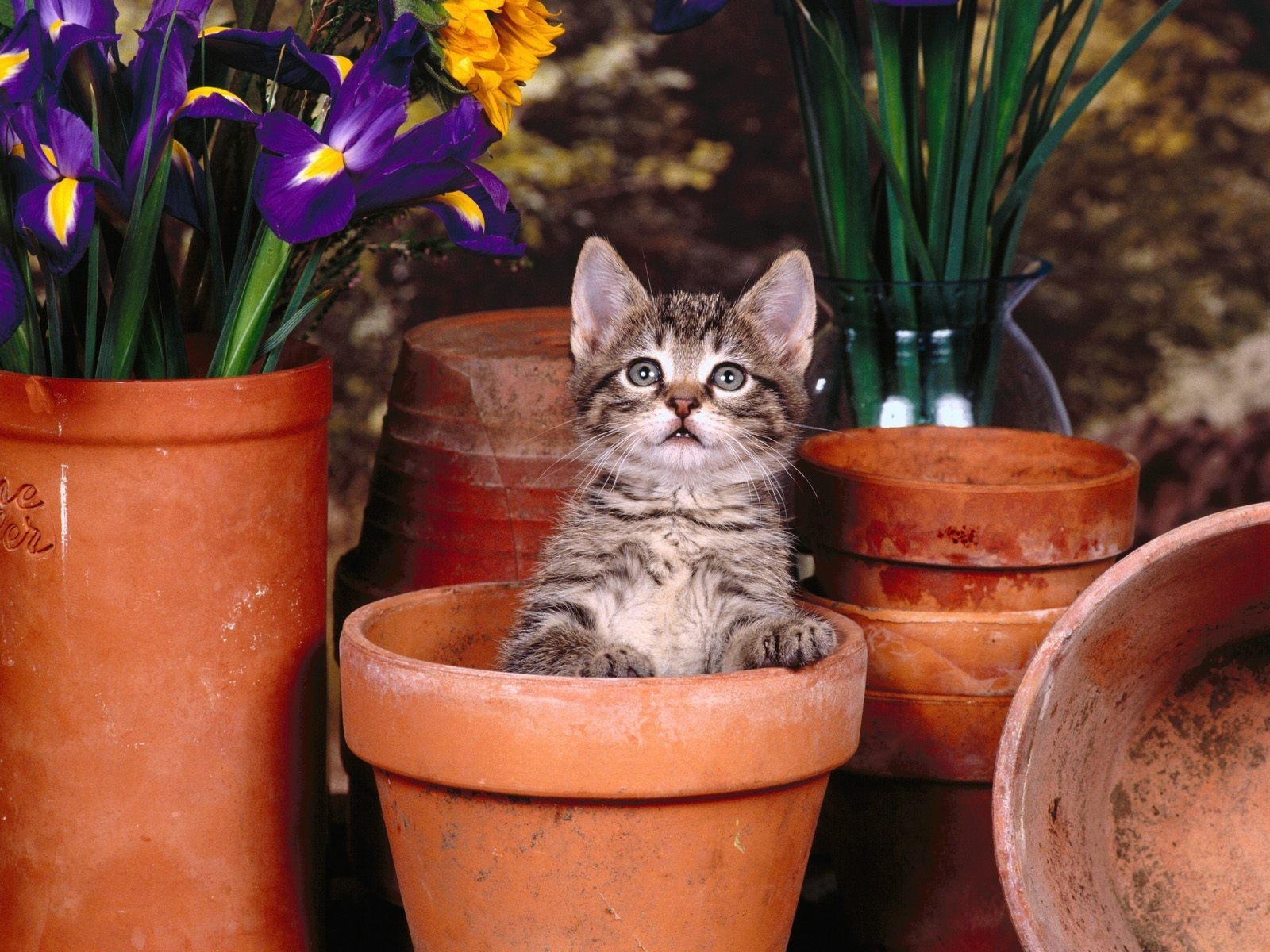 5235 download wallpaper Animals, Cats screensavers and pictures for free