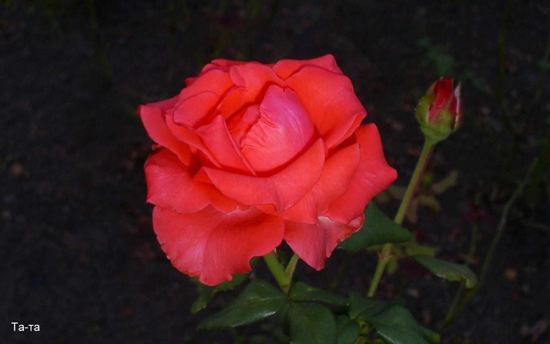 552 скачать обои Растения, Цветы, Розы - заставки и картинки бесплатно