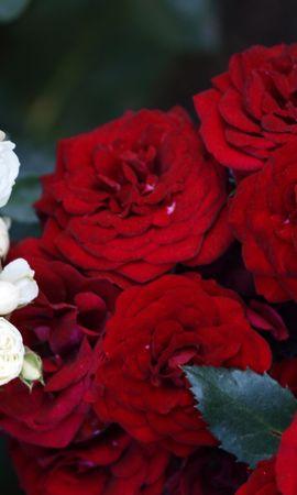 5135 télécharger le fond d'écran Plantes, Fleurs, Roses - économiseurs d'écran et images gratuitement