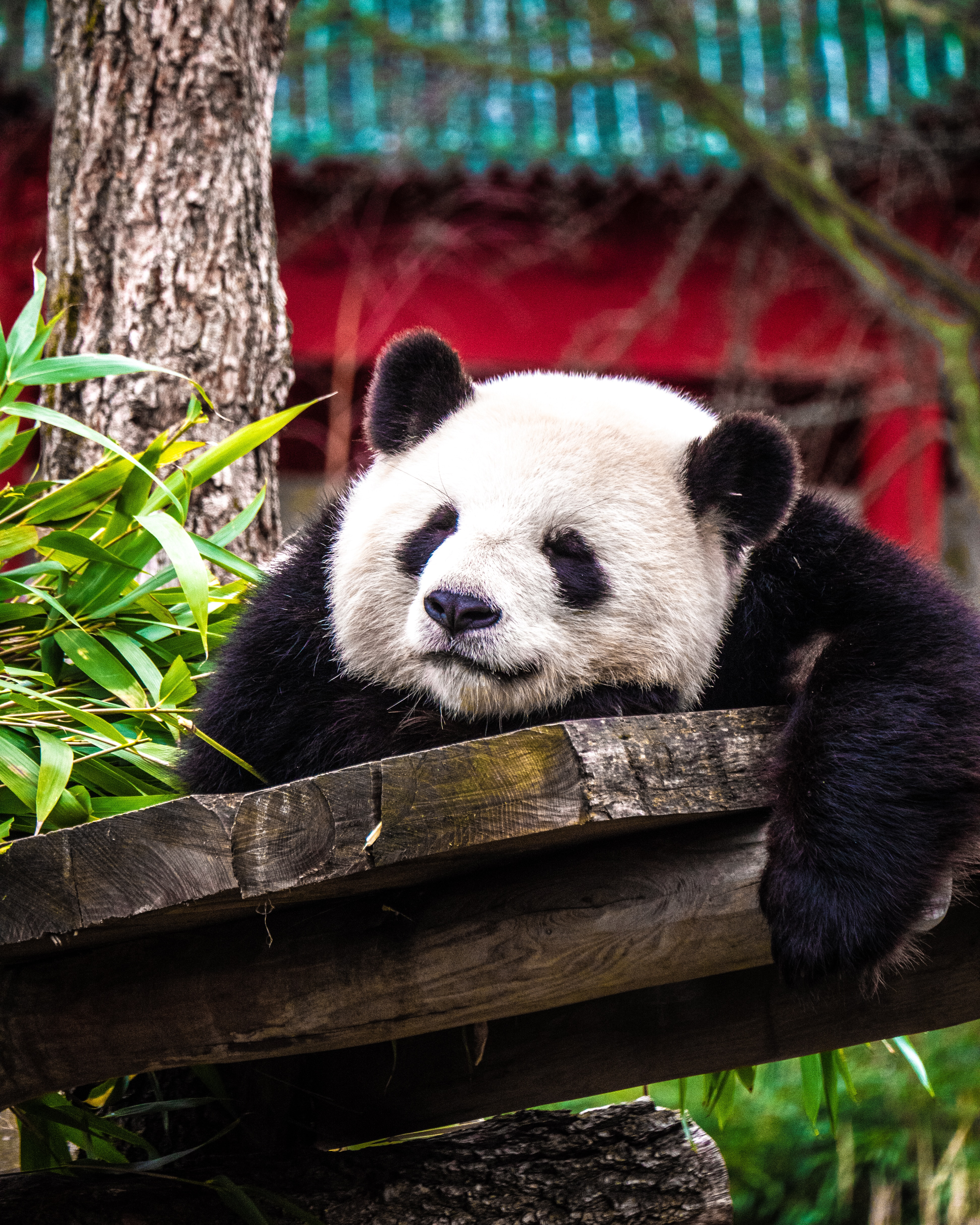 145404 download wallpaper Animals, Panda, Sleep, Dream, Nice, Sweetheart, Animal screensavers and pictures for free