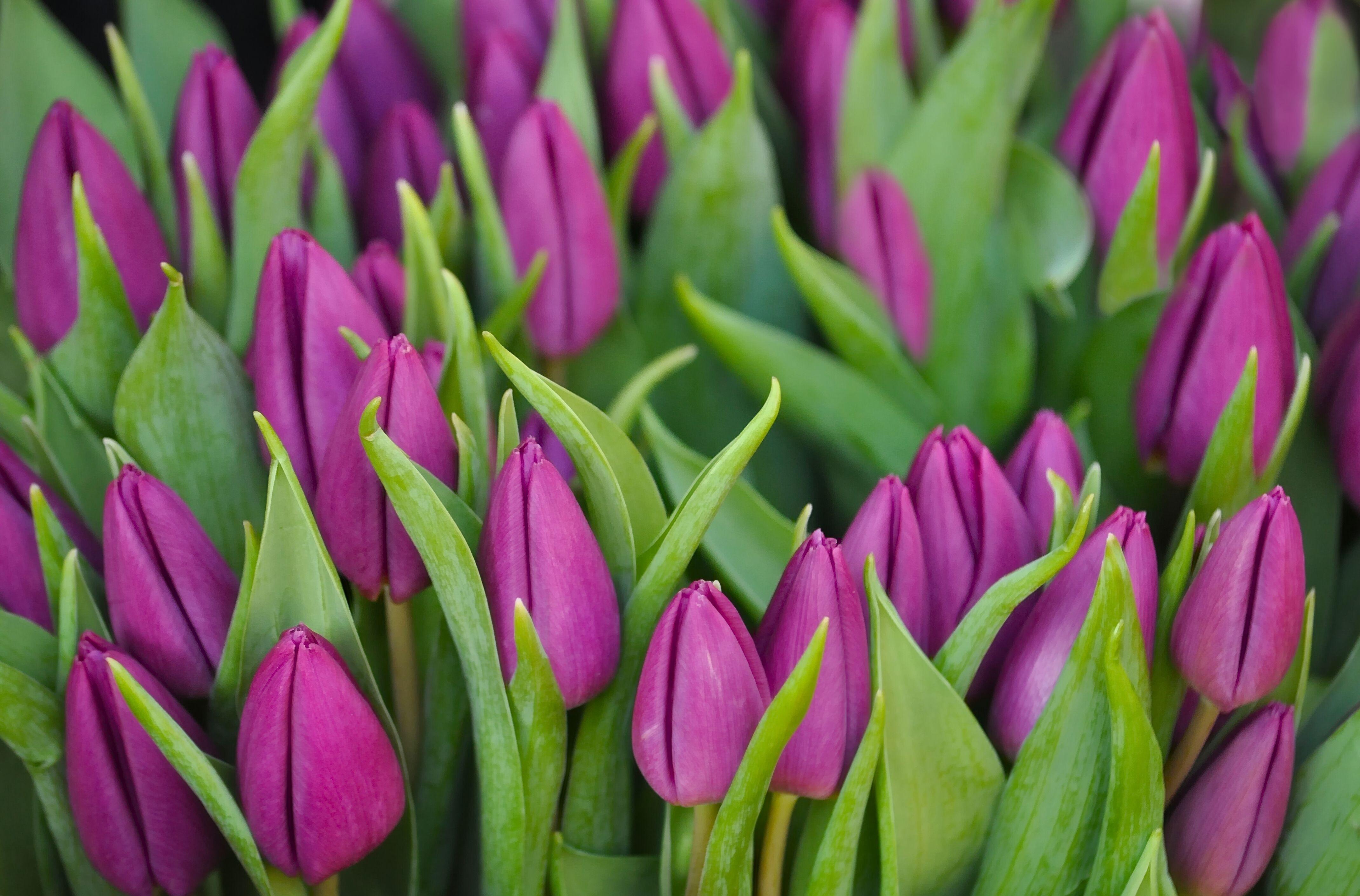 152106 скачать обои Цветы, Бутоны, Сиреневые, Букет, Зелень, Тюльпаны - заставки и картинки бесплатно