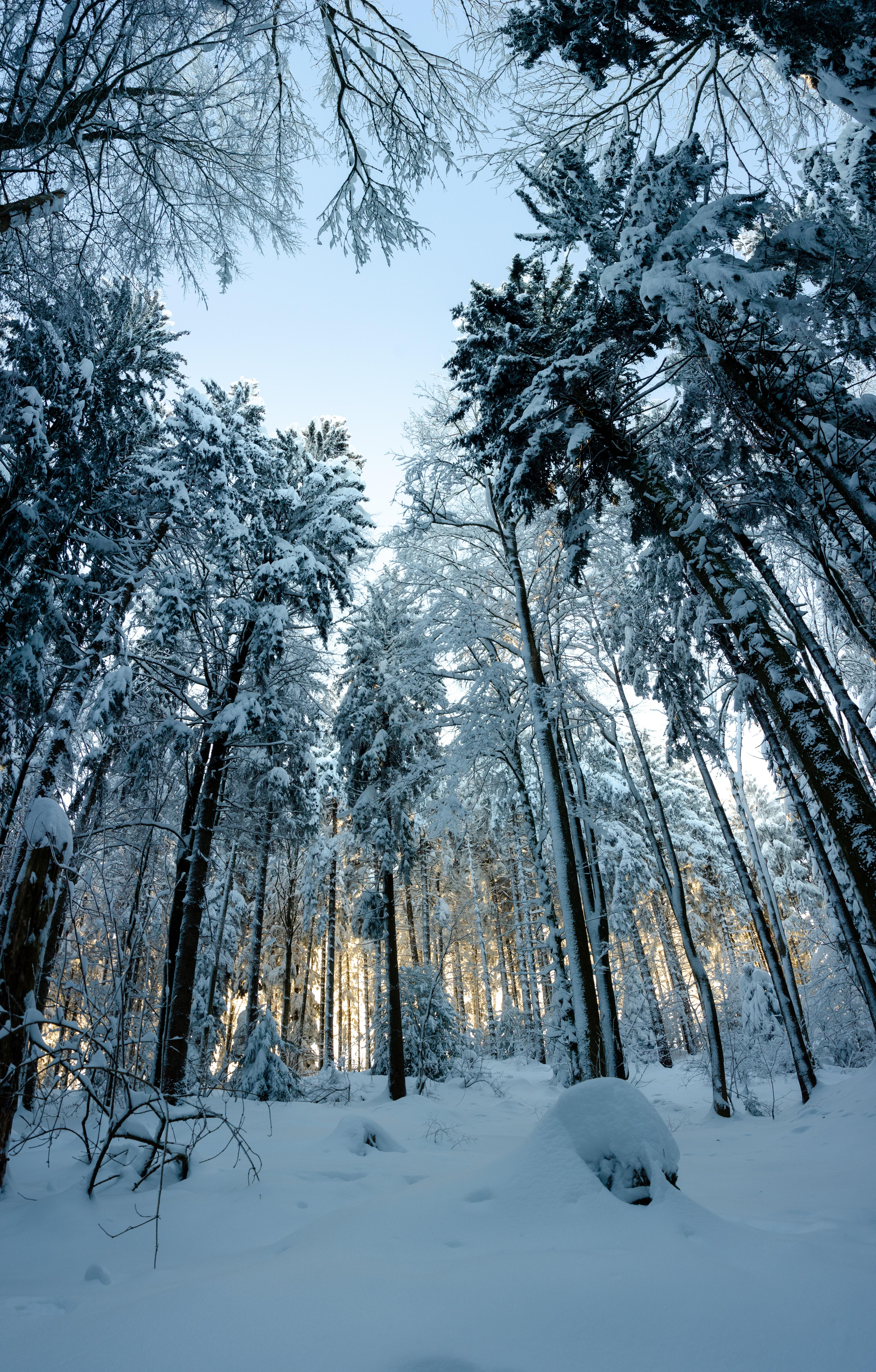 82975 скачать обои Природа, Лес, Снег, Зима, Деревья, Заснеженный, Сосны - заставки и картинки бесплатно