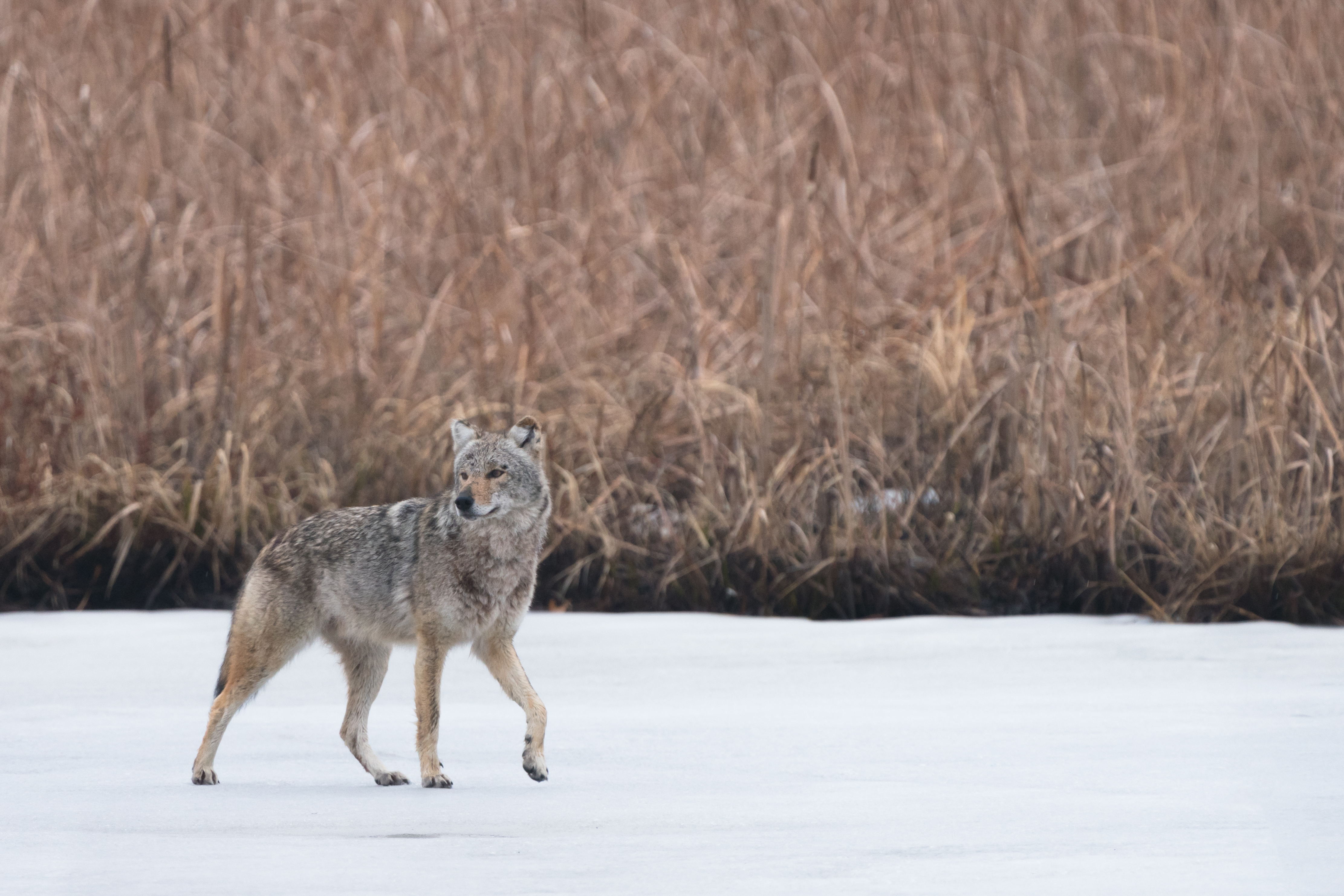 103493 download wallpaper Animals, Coyote, Animal, Grey, Snow, Wildlife screensavers and pictures for free