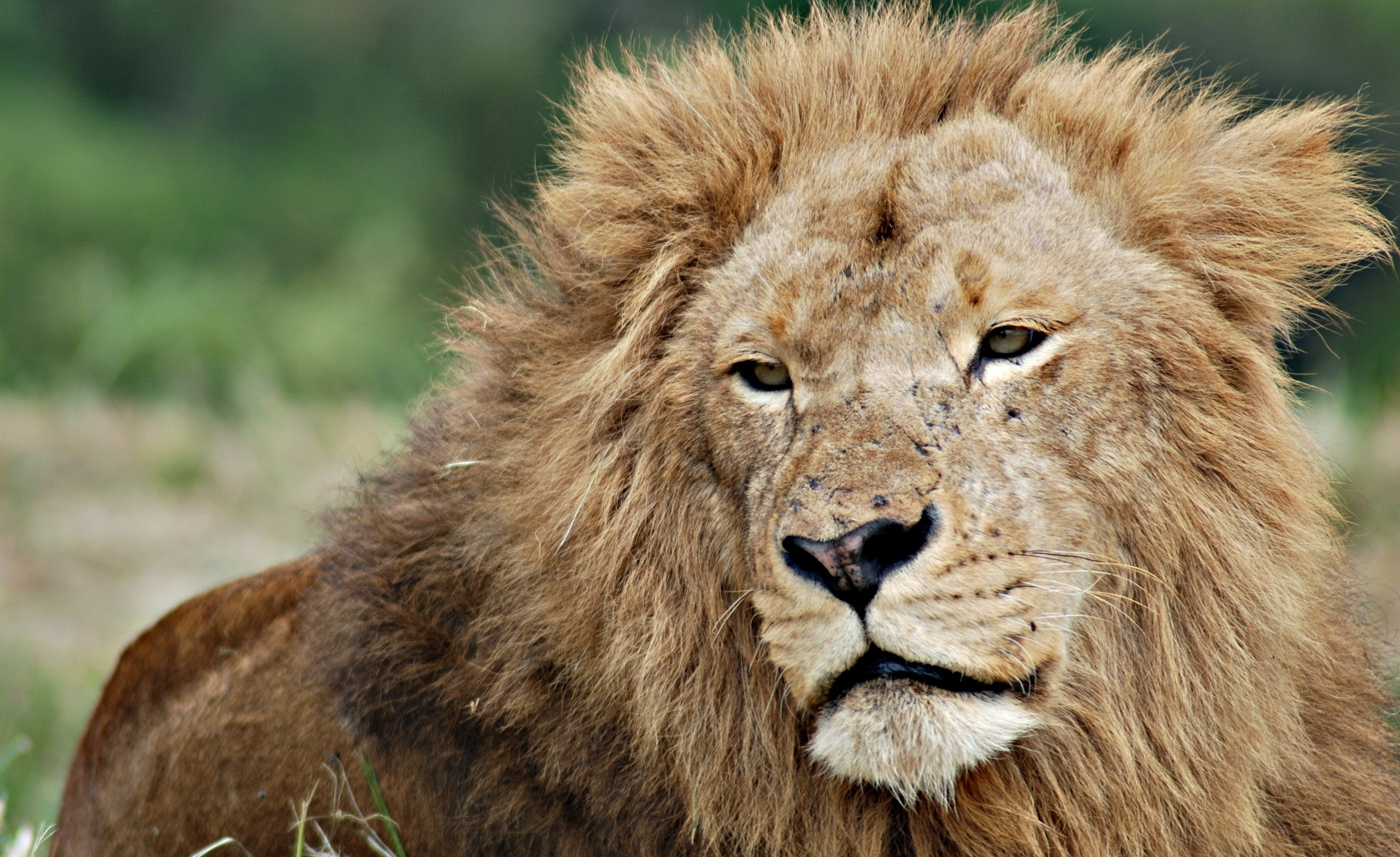 96304 download wallpaper Animals, Lion, Muzzle, Mane, Sight, Opinion, King Of Beasts, King Of The Beasts screensavers and pictures for free