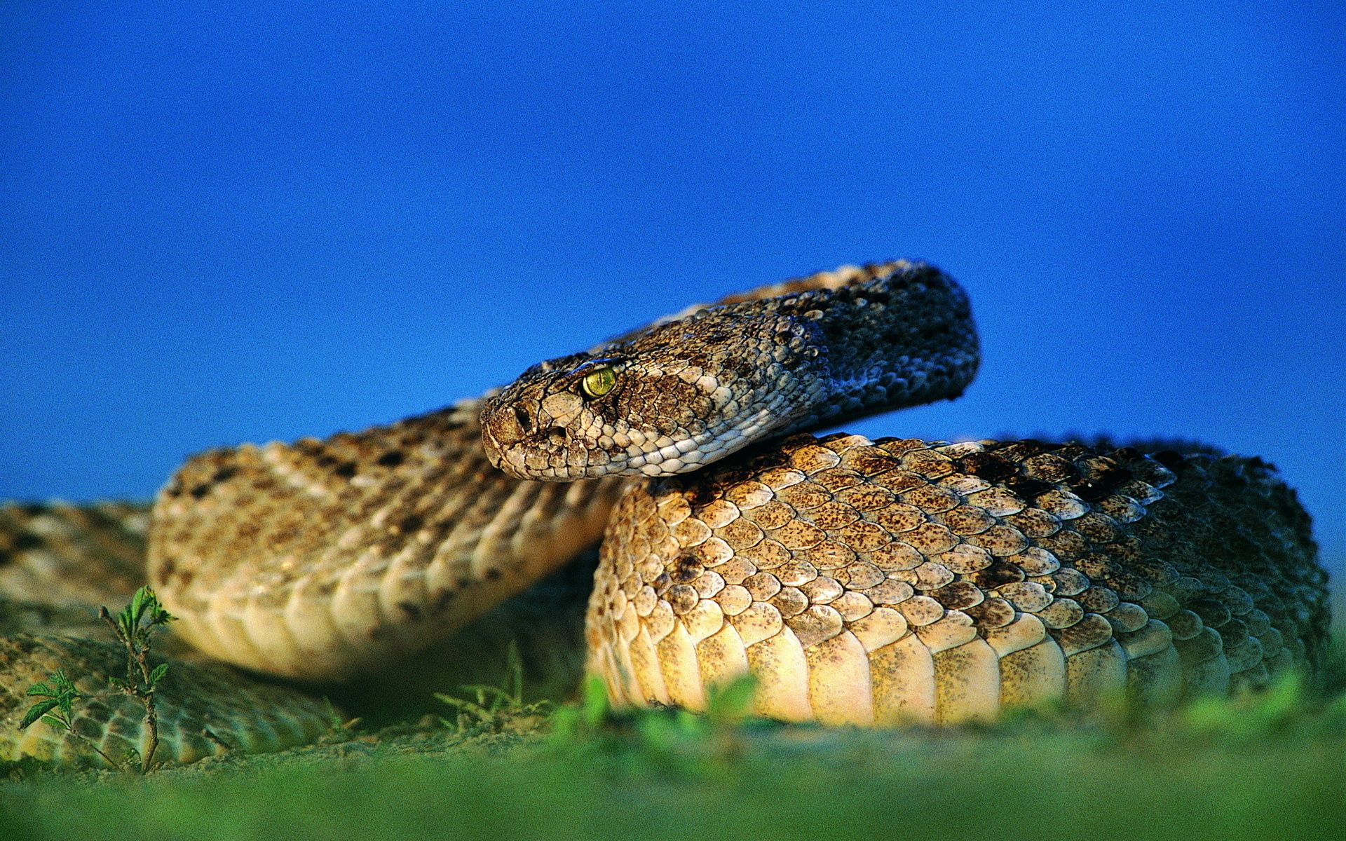 126141 download wallpaper Animals, Snake, Eye, Blur, Smooth, Scales, Scale screensavers and pictures for free