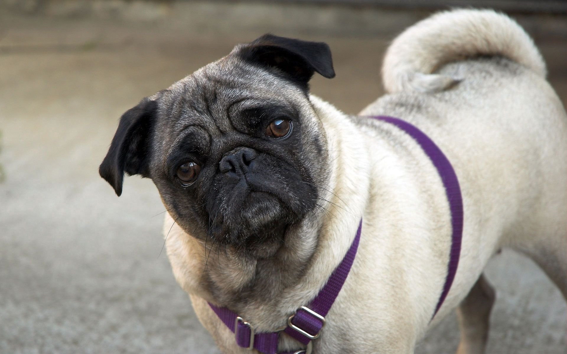 154153 download wallpaper Animals, Pug, Muzzle, Curious, Inquisitive, Collar screensavers and pictures for free