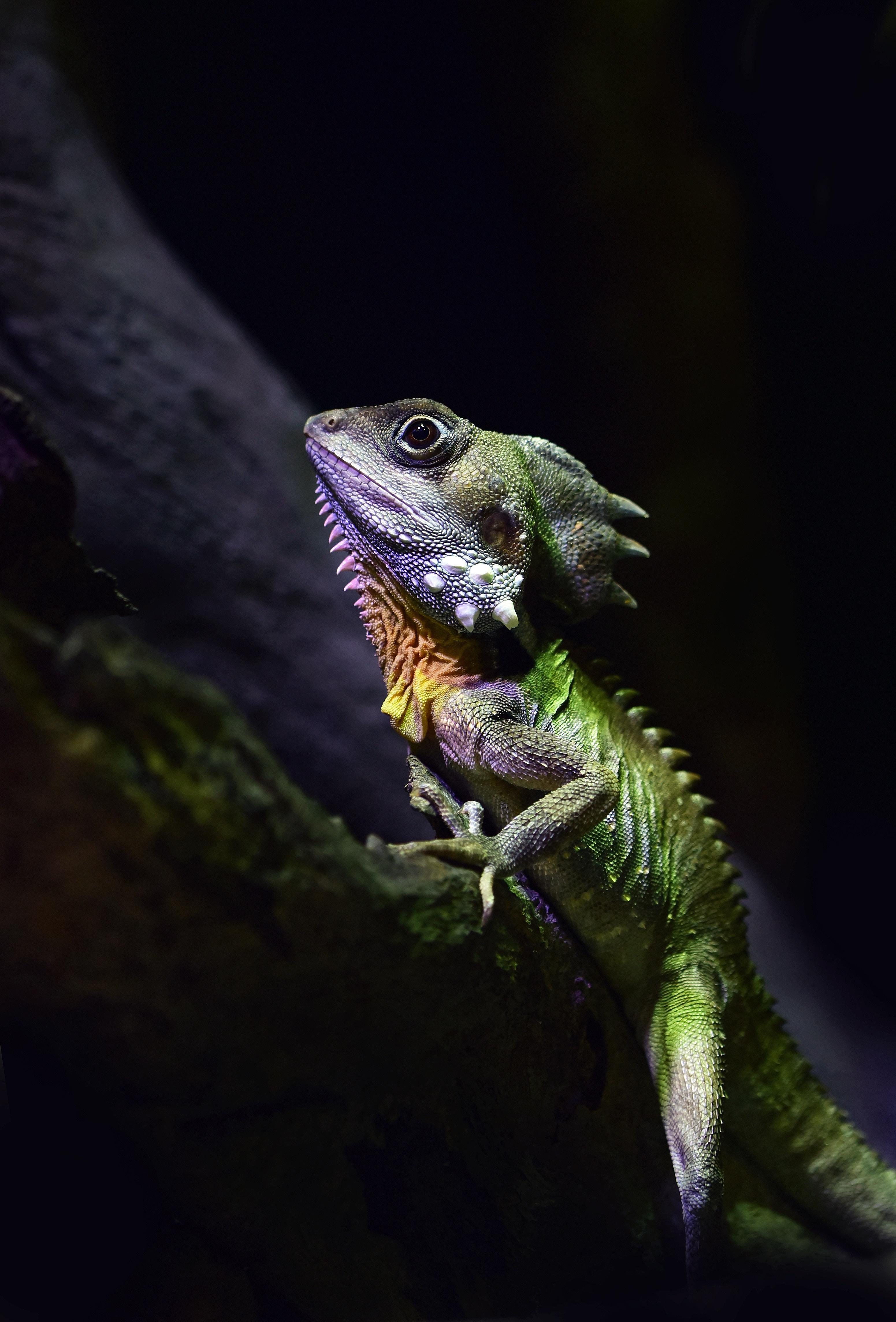 154549 Hintergrundbild herunterladen Tiere, Eidechse, Reptil, Reptile, Australischer Walddrache, Australian Forest Dragon - Bildschirmschoner und Bilder kostenlos