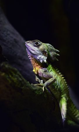 154549 download wallpaper Animals, Australian Forest Dragon, Lizard, Reptile screensavers and pictures for free