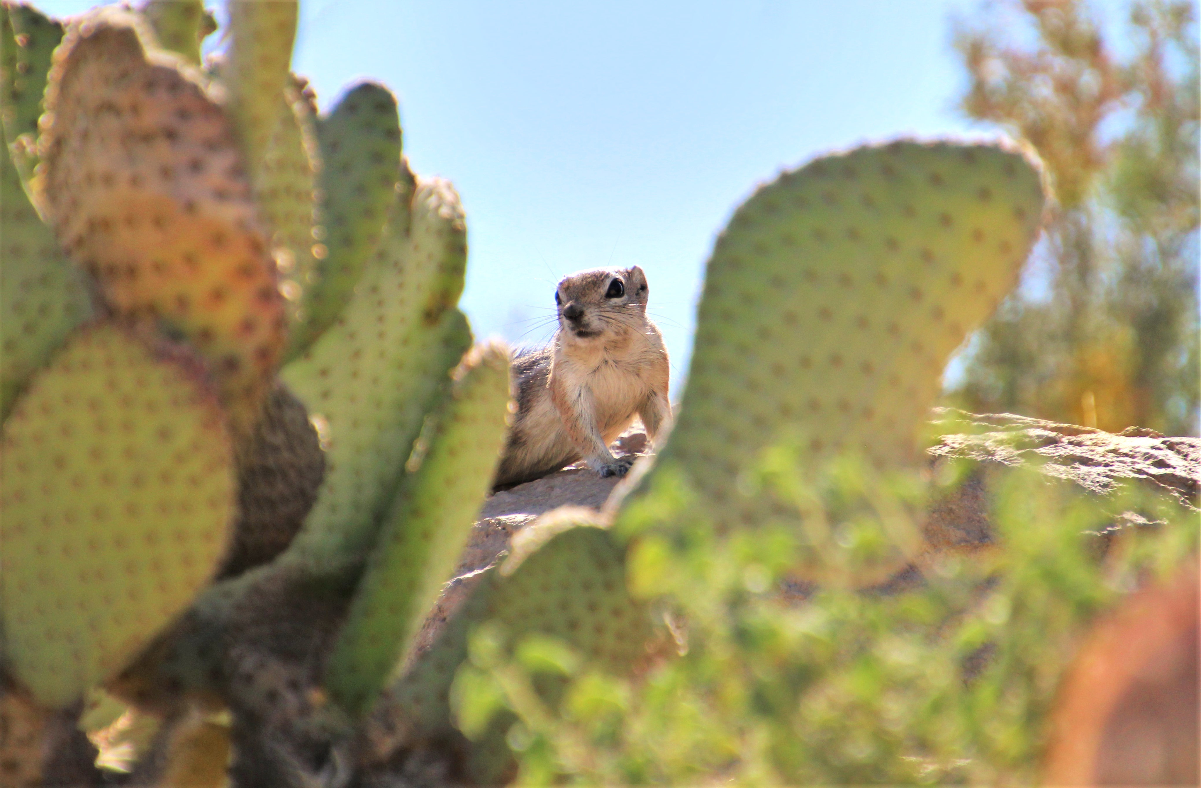 94543 download wallpaper Animals, Gopher, Rodent, Animal, Cactus screensavers and pictures for free